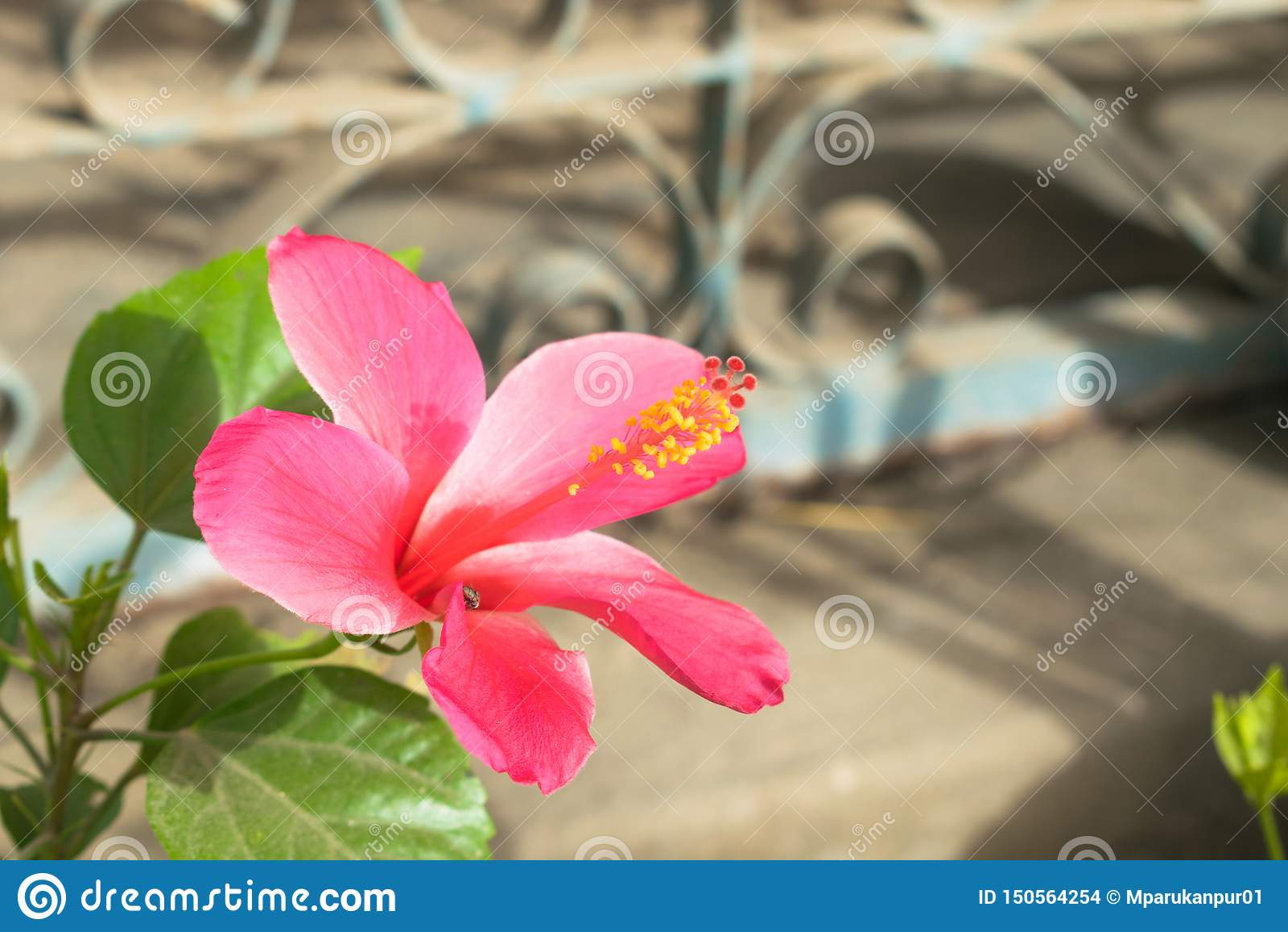 Schöne rote Hibiscusblume in einem Garten