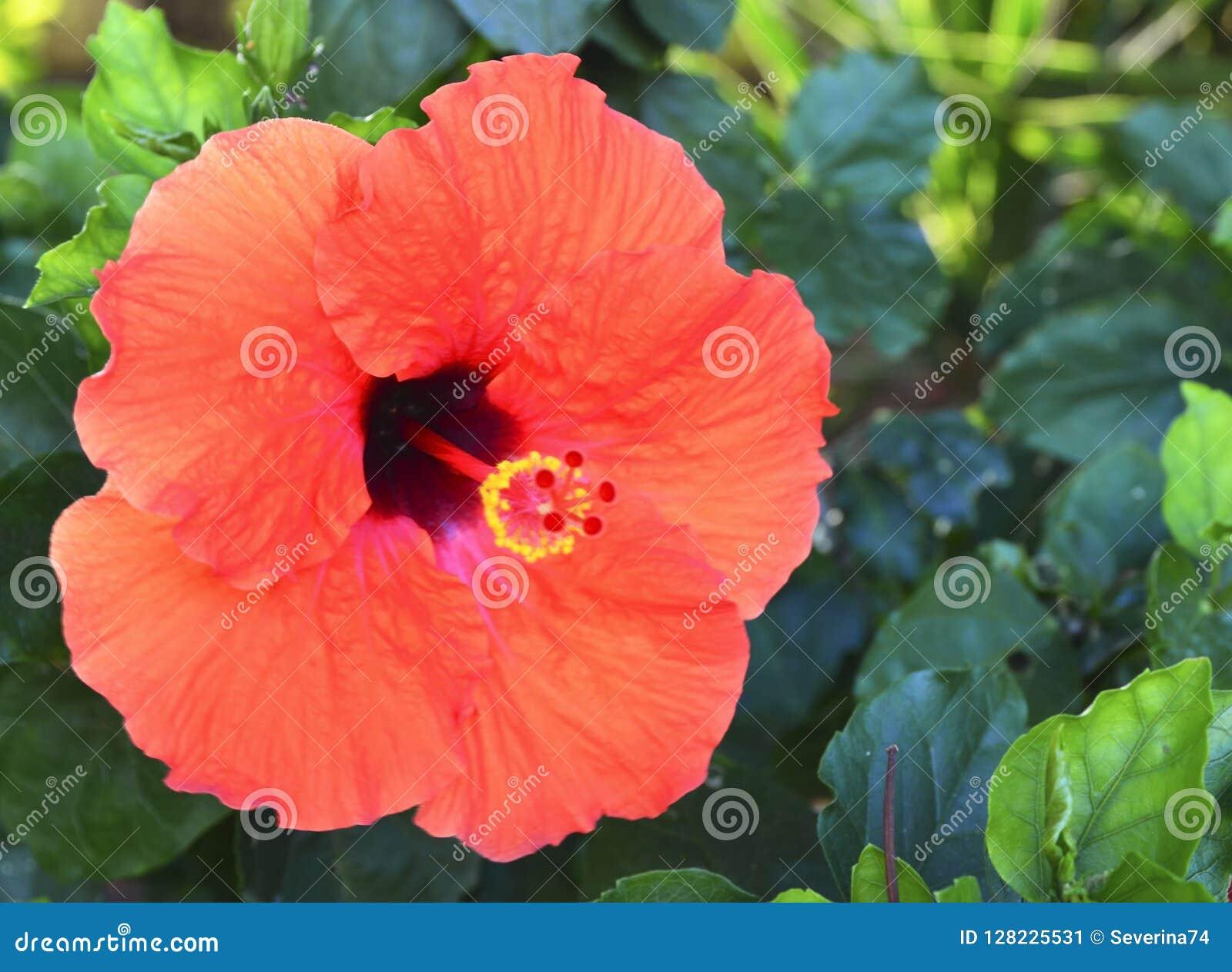 Schöne rote Hibiscusblumen China stiegen, Gudhal, Chaba, Schuhblume im Garten von Teneriffa, Kanarische Inseln, Spanien