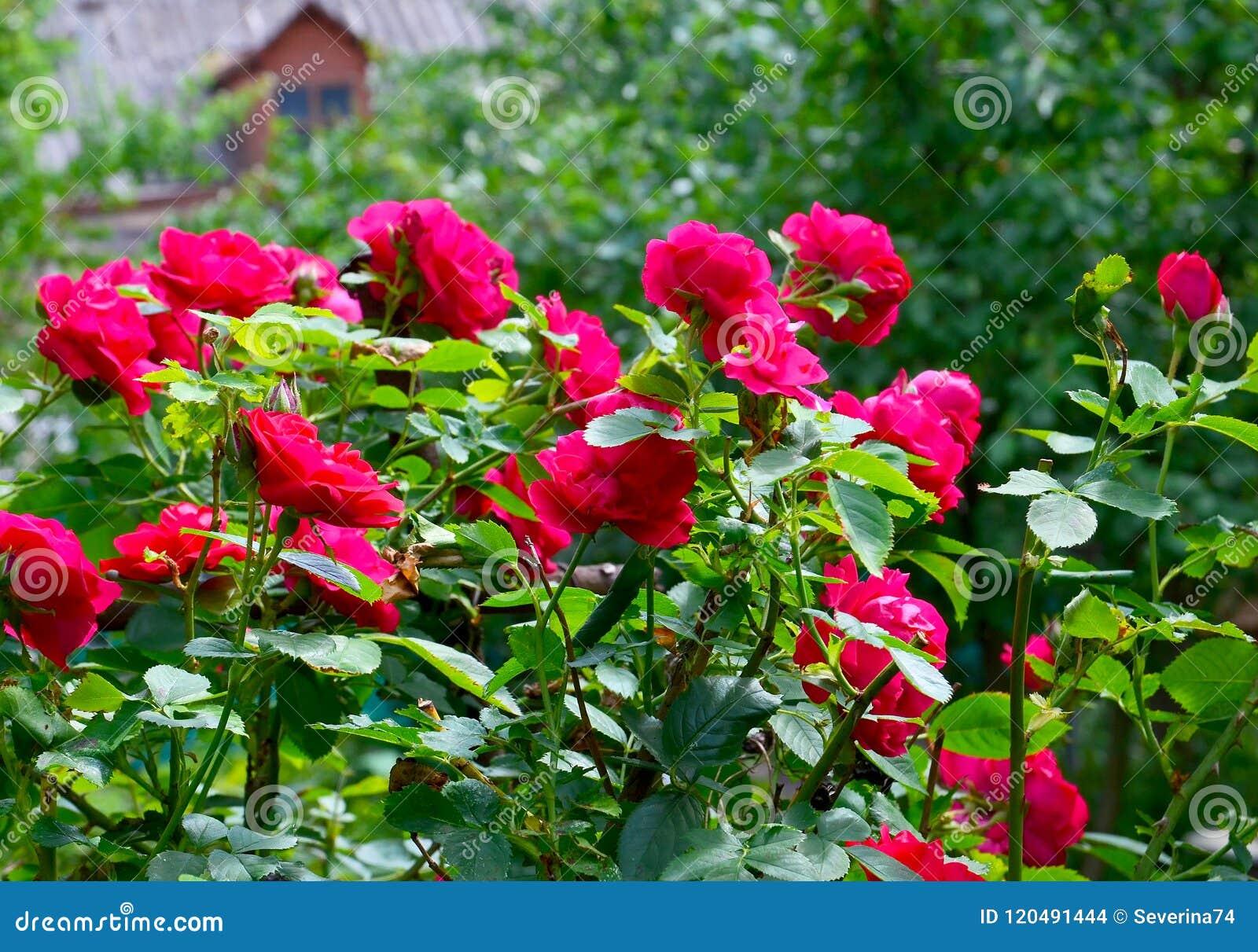 Schöne rote kletternde Rosen im Sommer arbeiten im Garten Dekorative Blumen oder Gartenarbeitkonzept