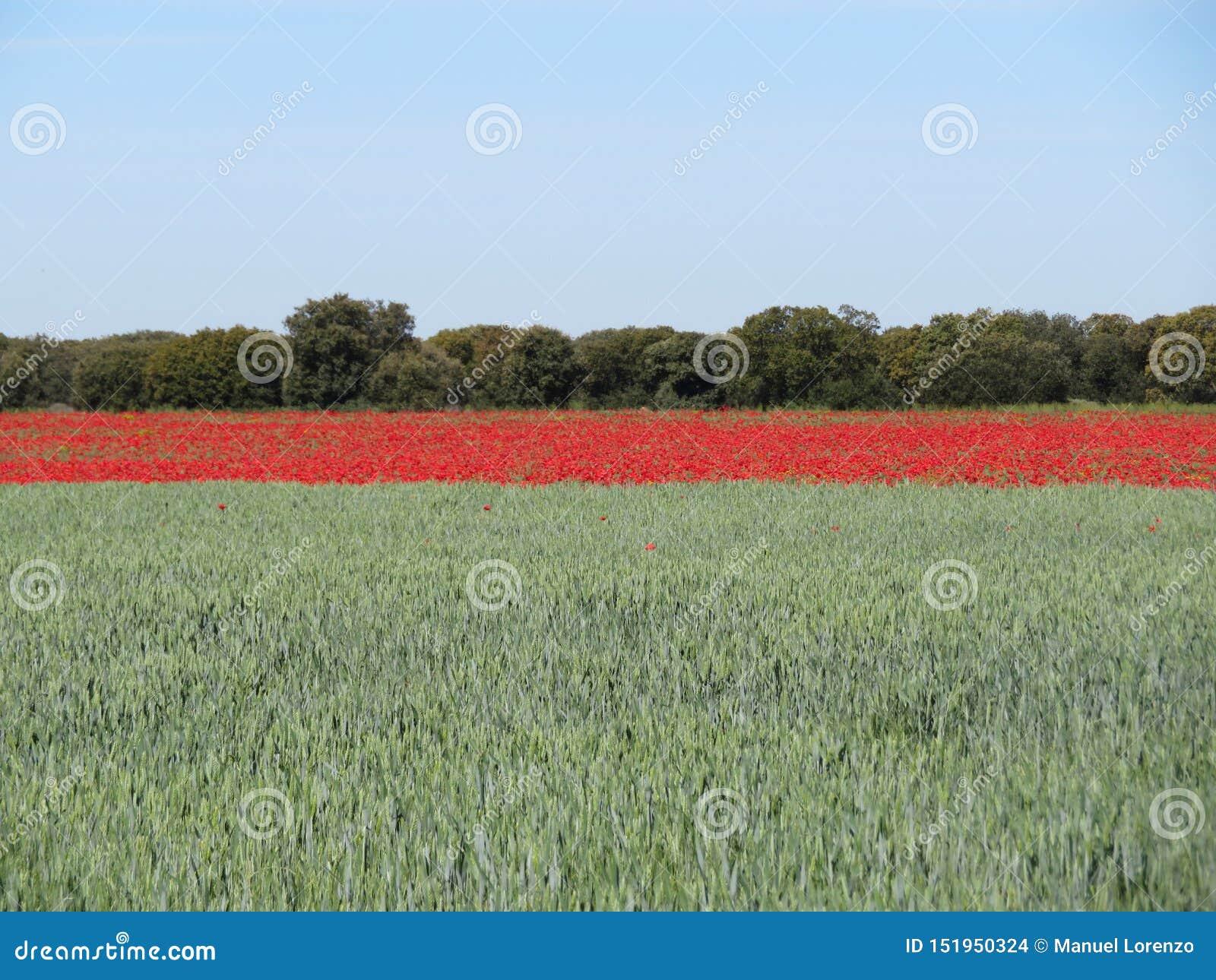 Schöne rote Mohnblumen voll von den Blumen gemischt mit Getreide