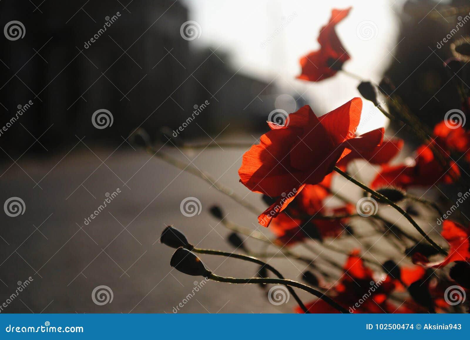 Schöne rote Mohnblumenblüte durch die Straße
