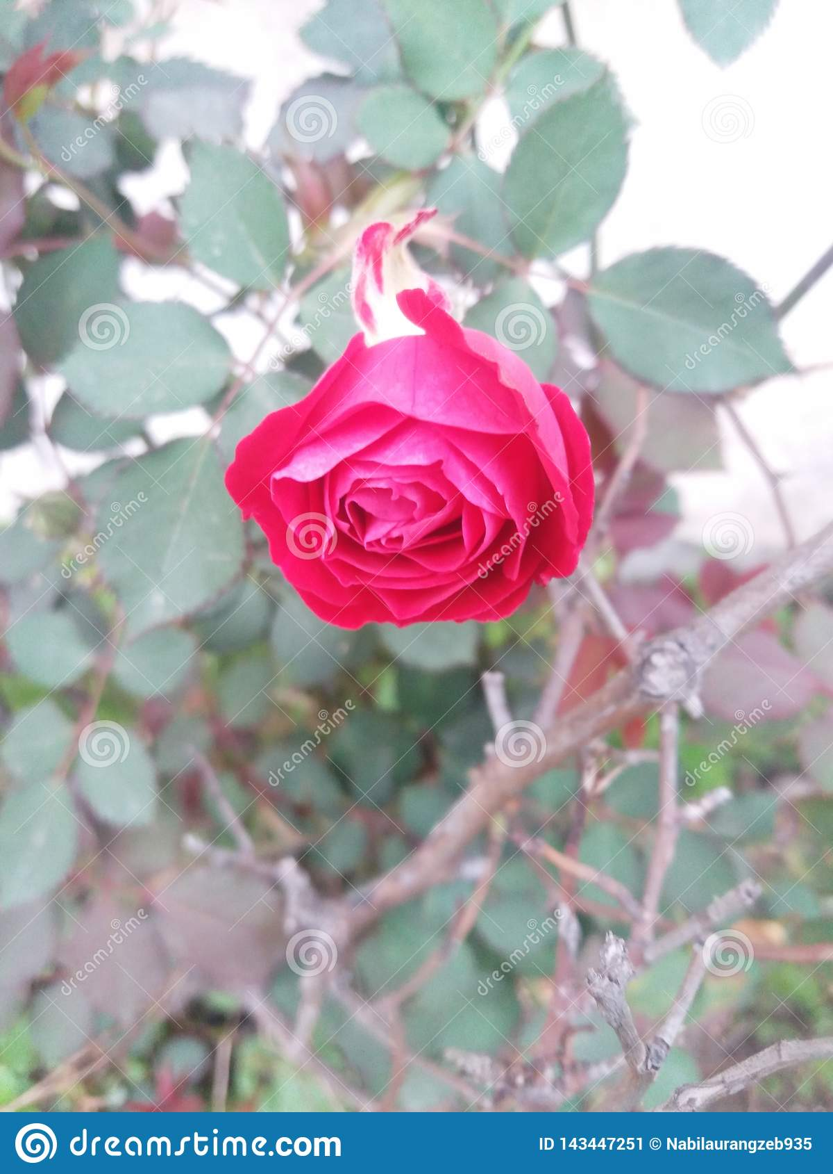 Schöne rote Rose || Ehrfürchtige Blume in der roten Farbe