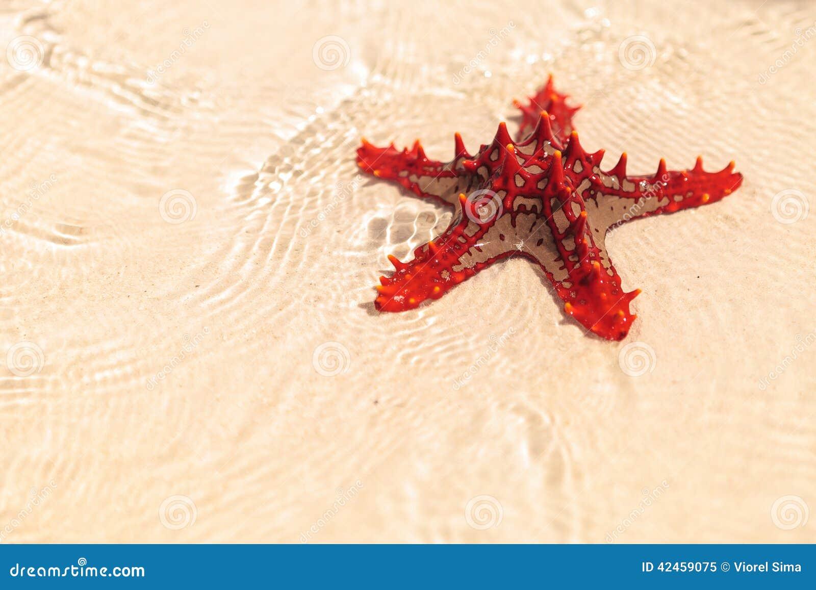 Schöne rote Starfish im seichten Strandwasser