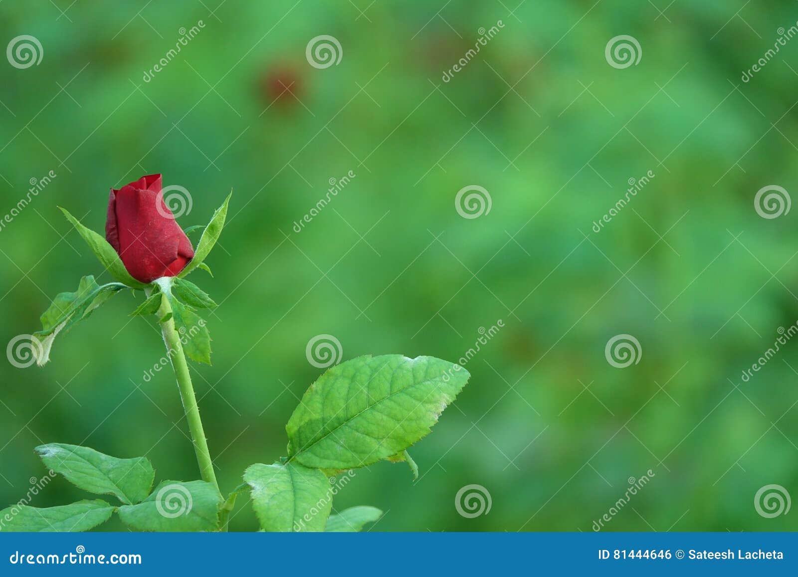 Schöne Rotrosenknospe
