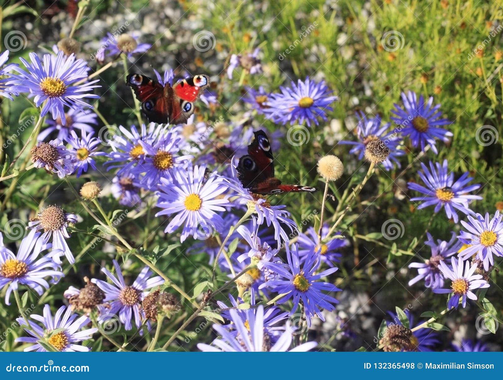 Schöne Schmetterlinge, die auf Blumenknospen in einer bunten Wiese im Sommer sitzen und einziehen