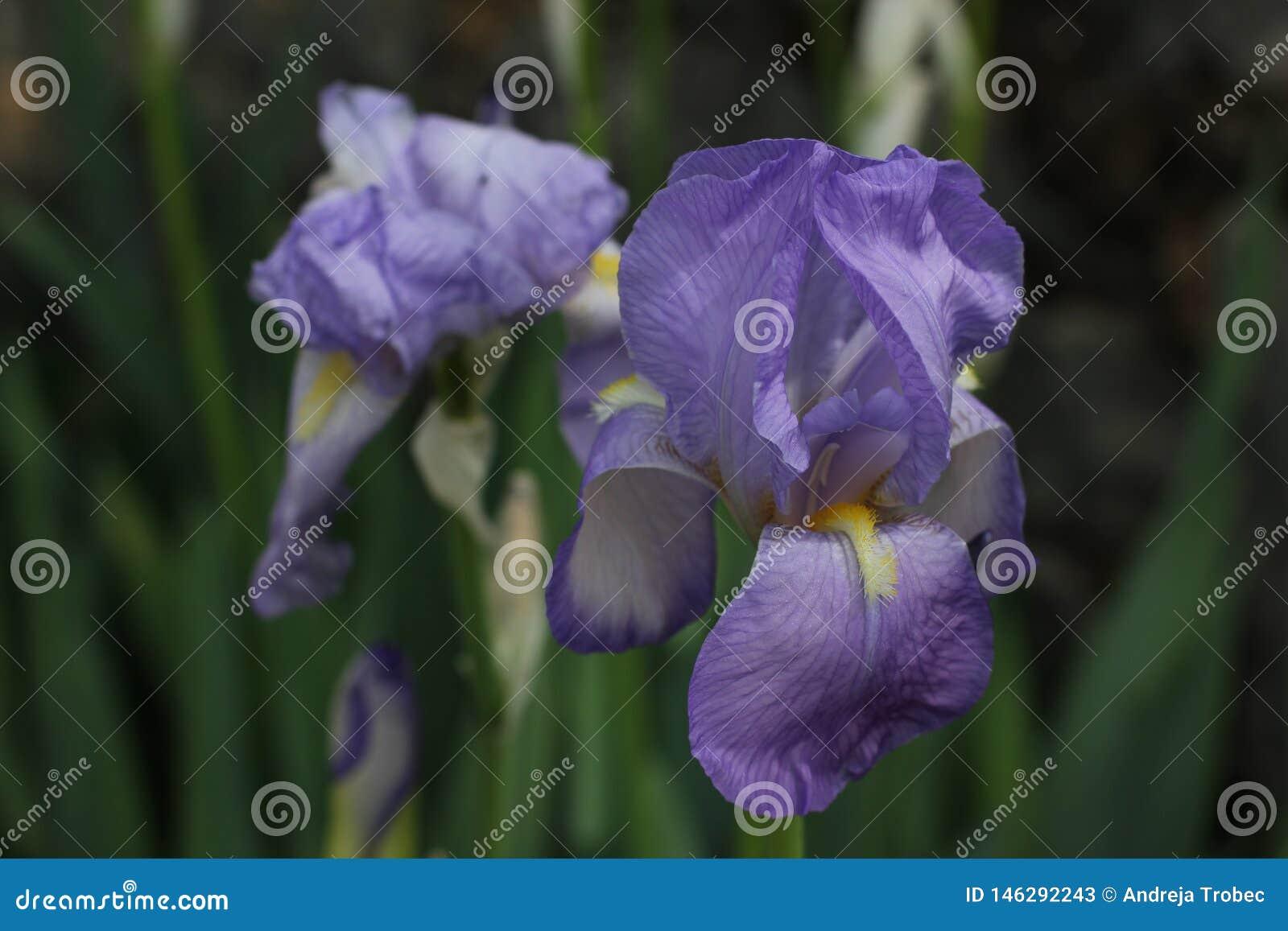 Schöne Schwertlilie, Iris Germanica