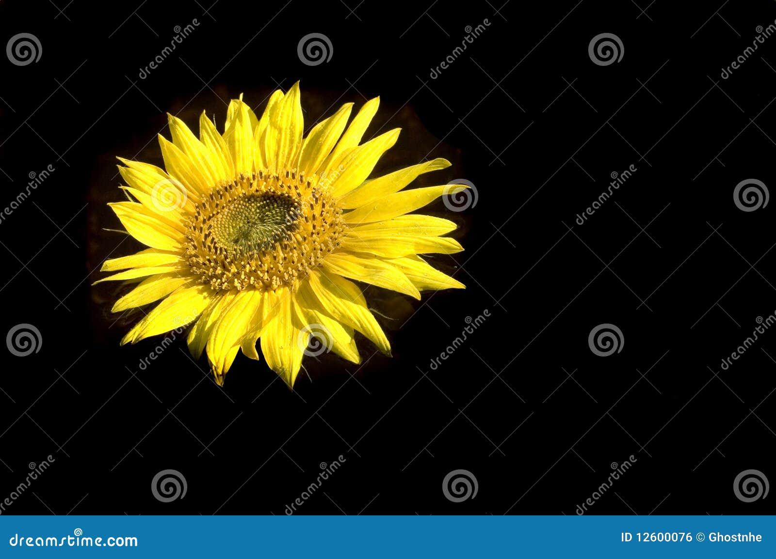 Schöne Sonnenblume auf dunklem Hintergrund
