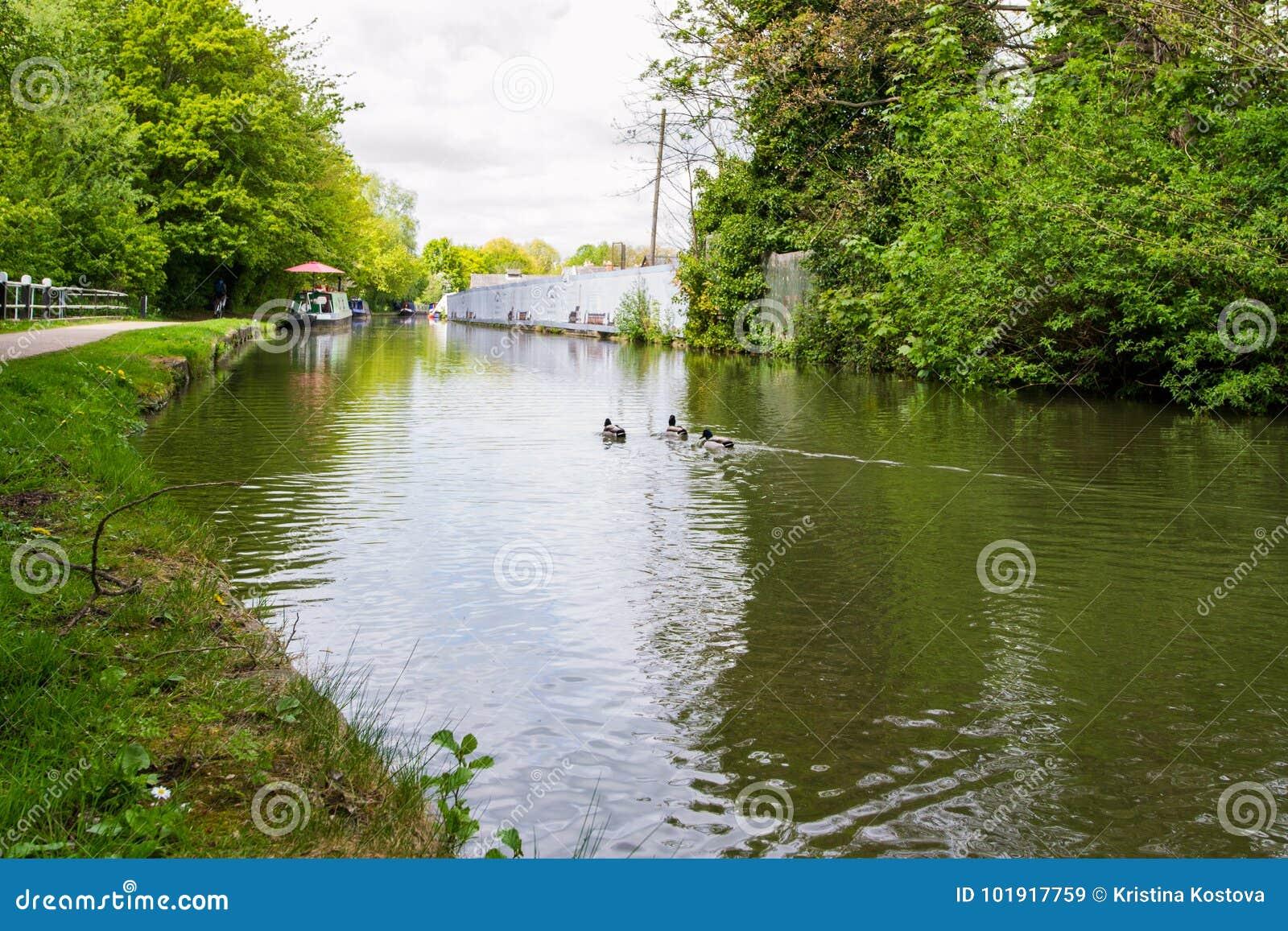 Schöne Stockenten im Fluss Avon, Bad, England