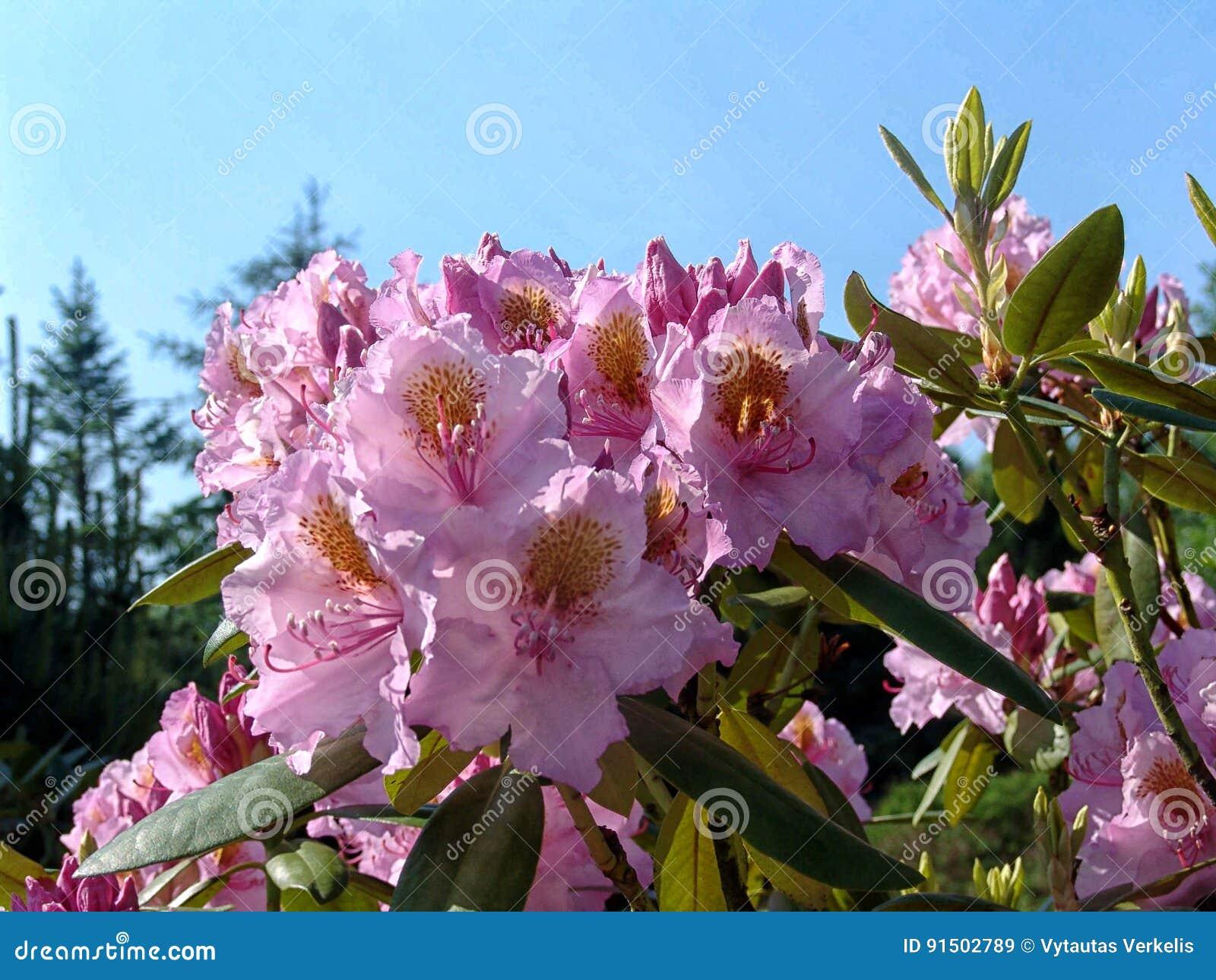 Schöne Tropische Rhododendronblumen Nette Blühende Pflanzen Im