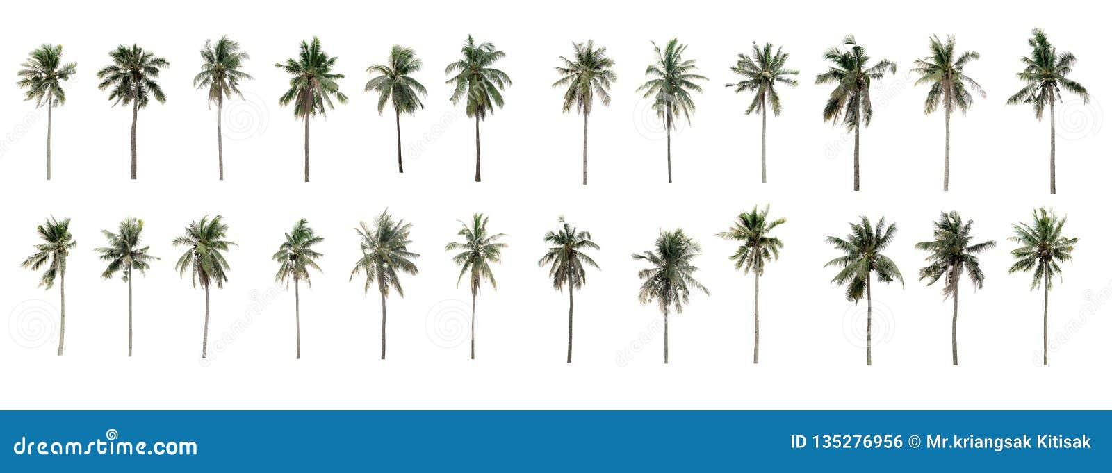 Schöne Twenty-four KokosnussPalmen im Garten