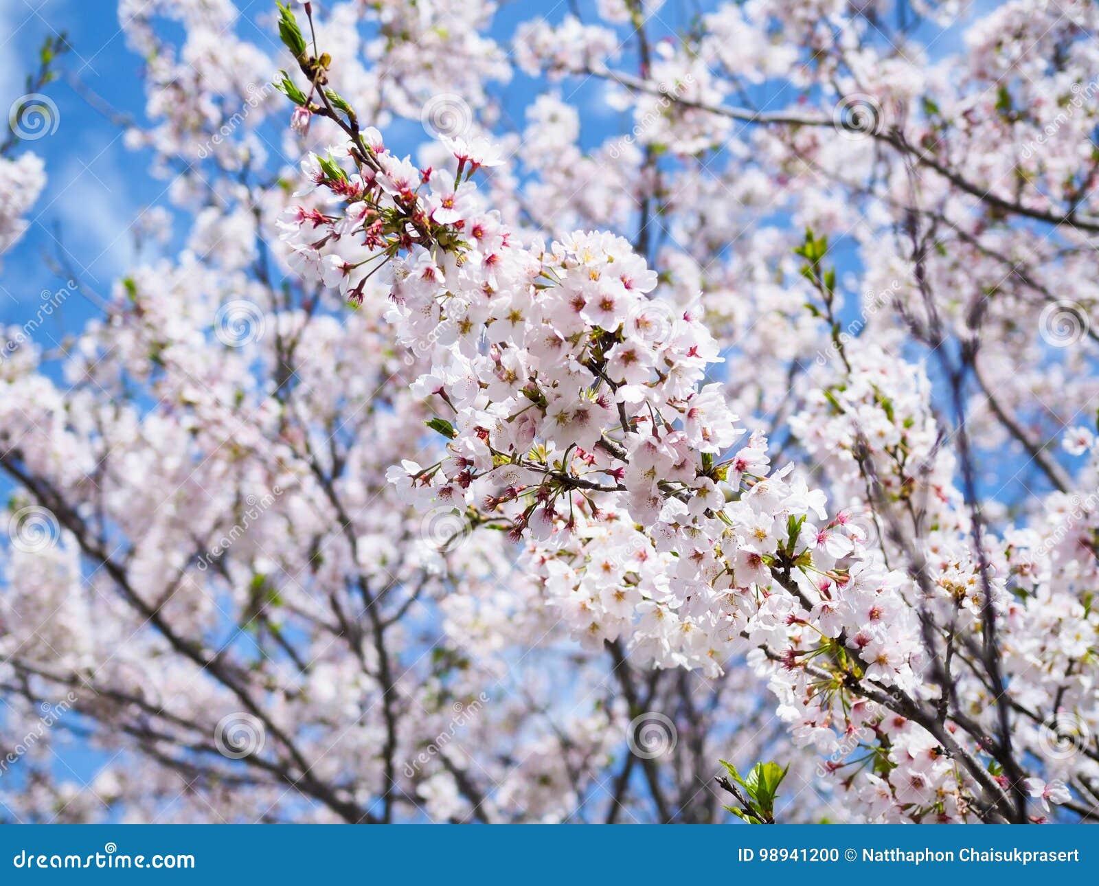 Schöne und colorfull Kirschblüte, Kirschblüte