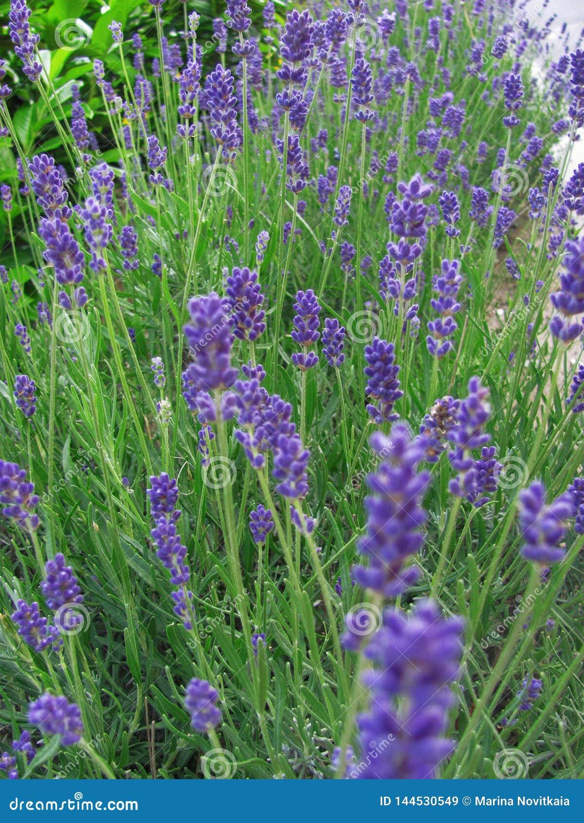 Schöne violette Lavendelblumen im Garten