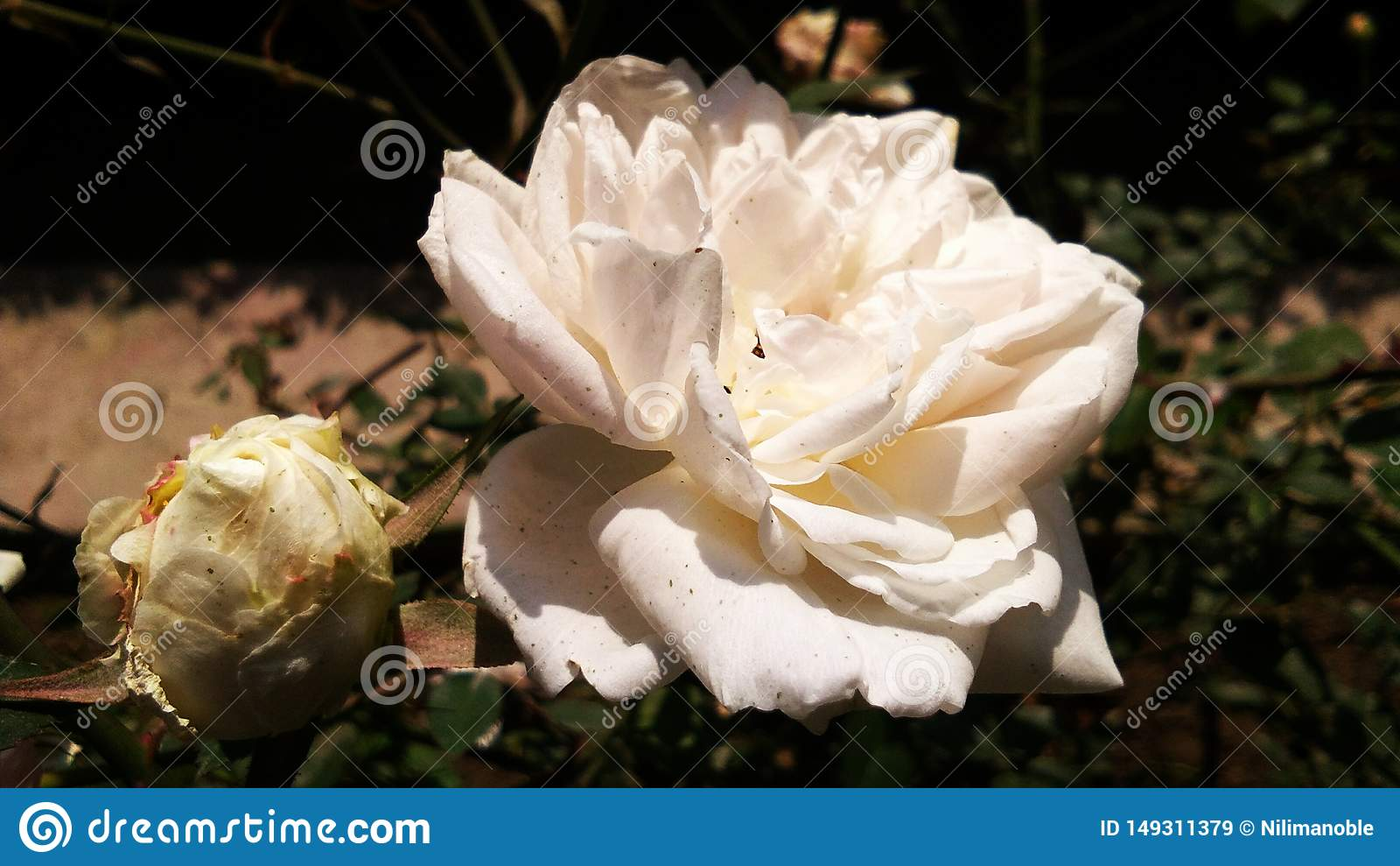 Sch?ne wei?e Farbe stieg sch?ner Hintergrund des romantischen Blumenblattes der Blume