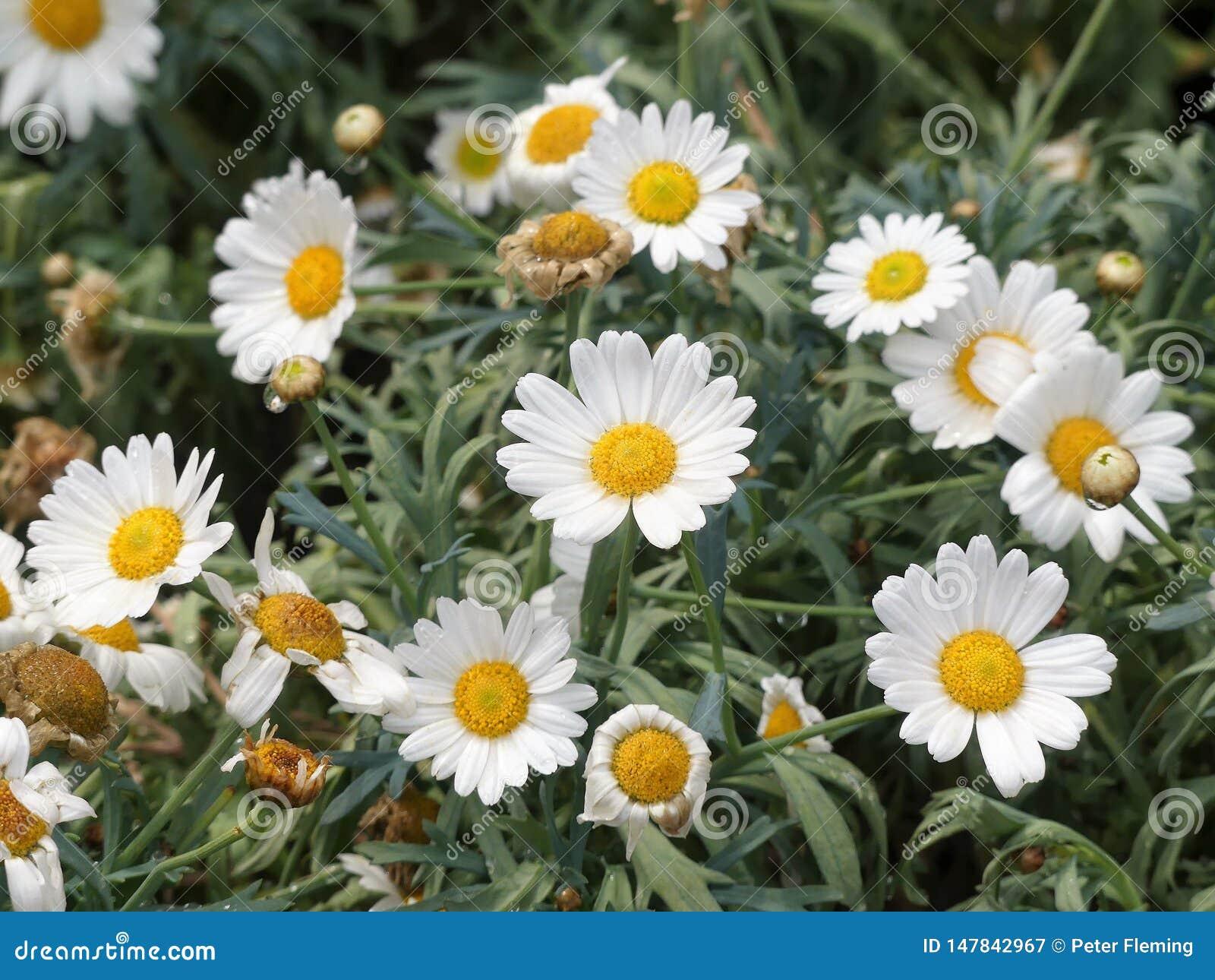 Schöne weiße Gänseblümchengänseblümchenblumen mit dem gelben Capitulum