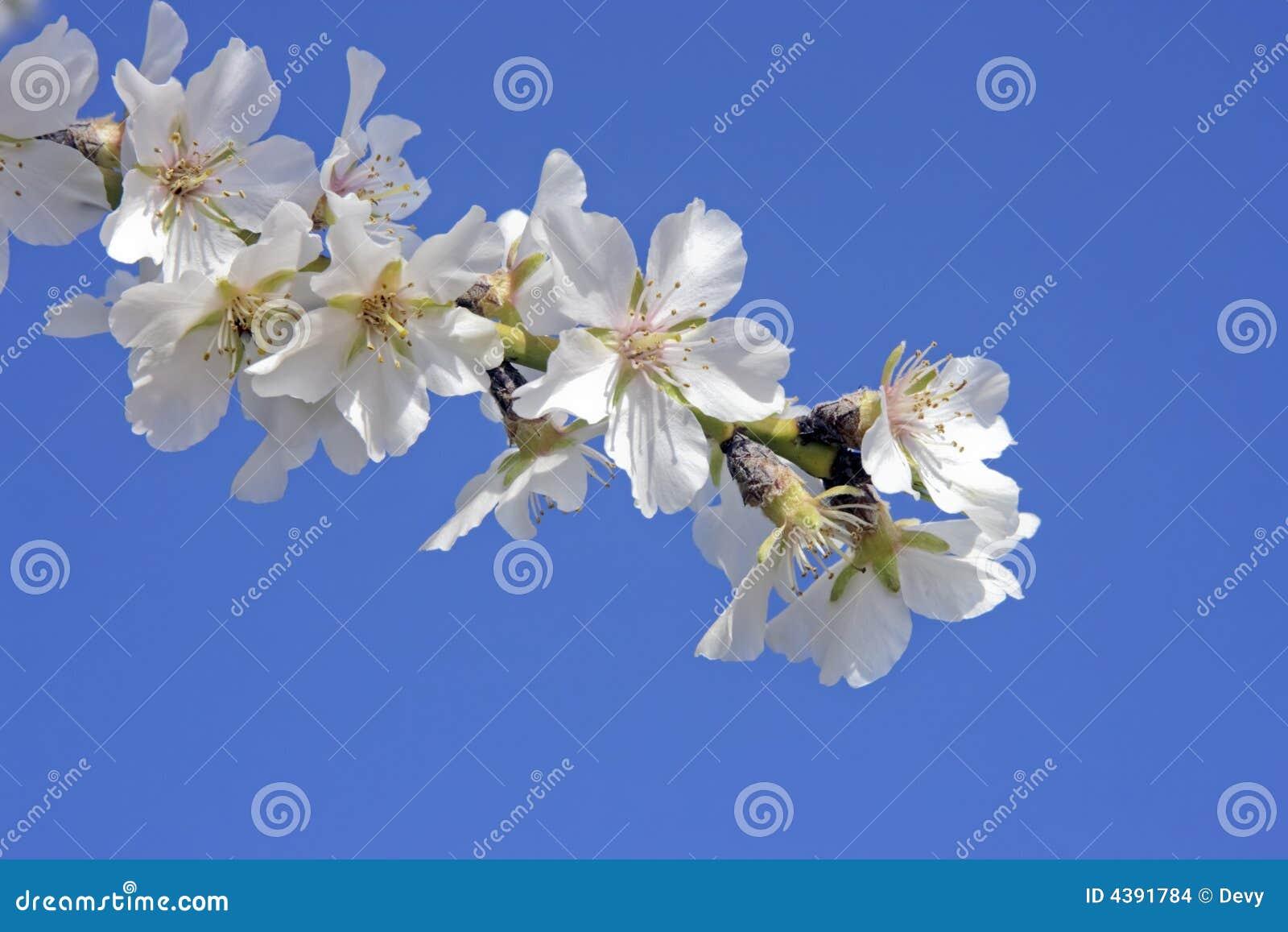 Schöne weiße Mandelblüte