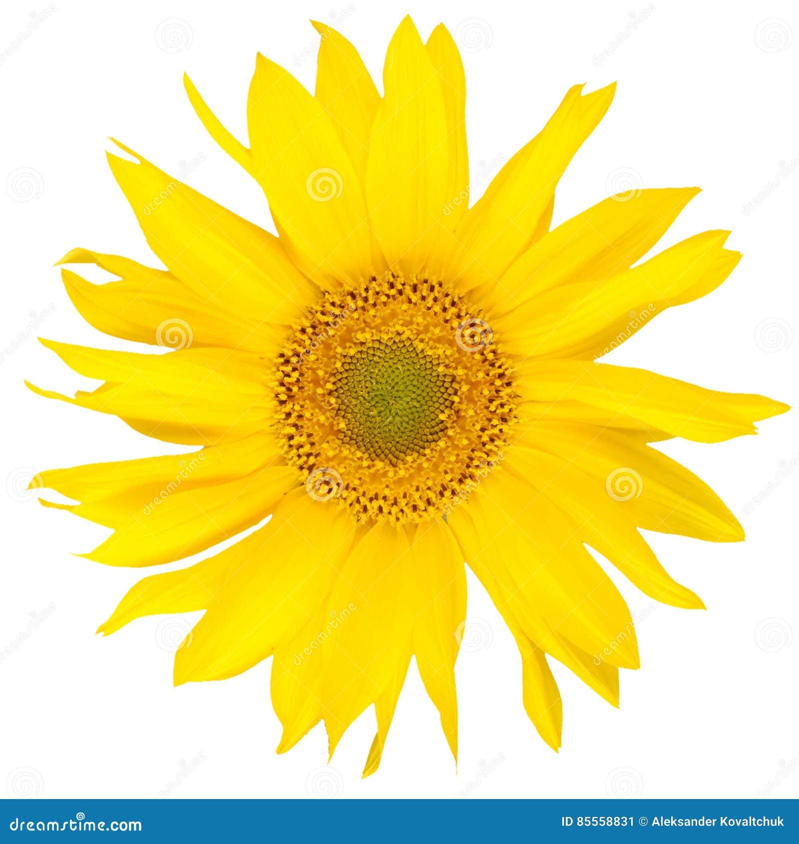 Schöne yelow Sonnenblume