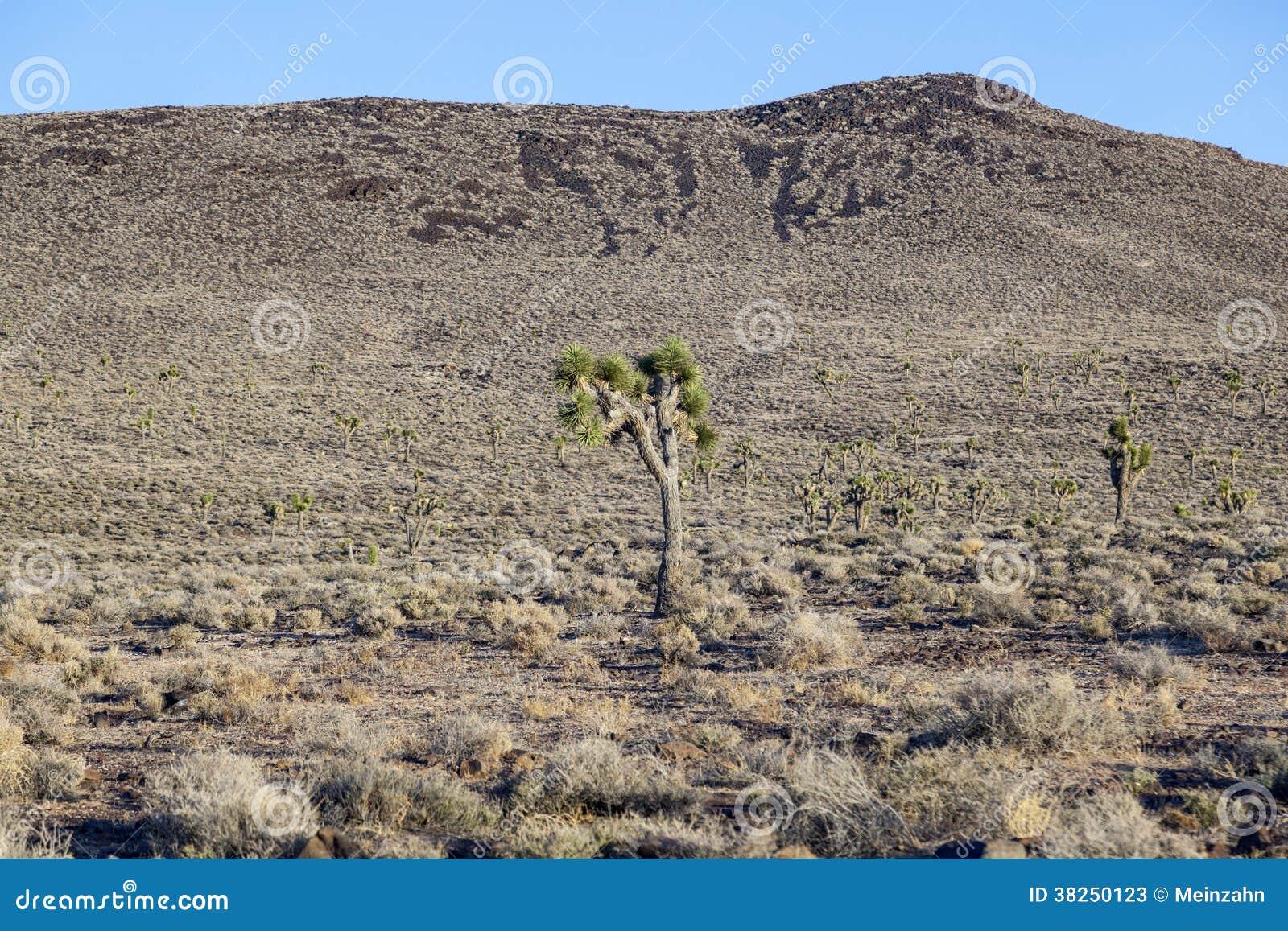 Schöne Yuccaanlagen im Sonnenuntergang