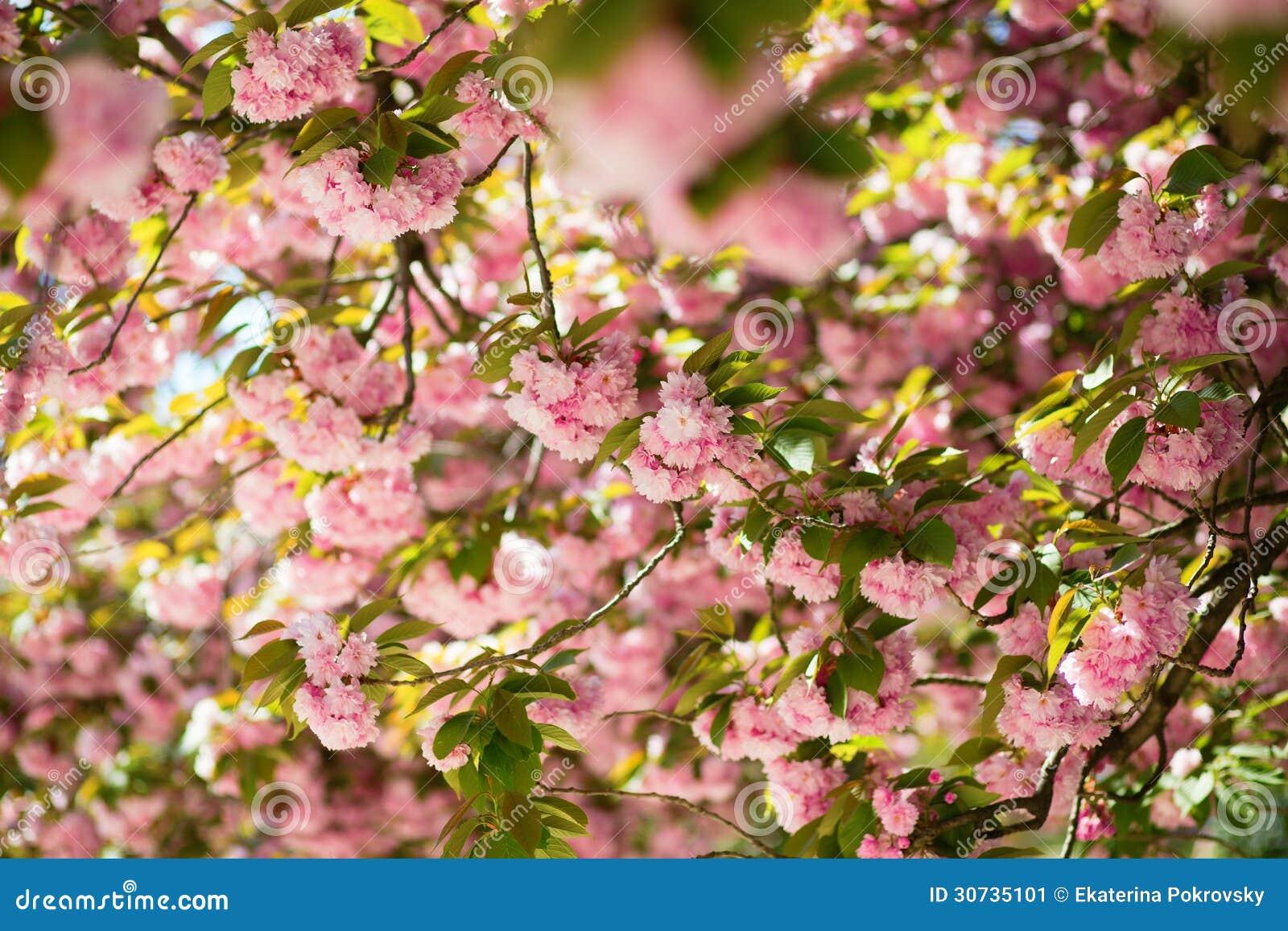 sch ner bl hender baum mit rosa blumen stockbild bild. Black Bedroom Furniture Sets. Home Design Ideas