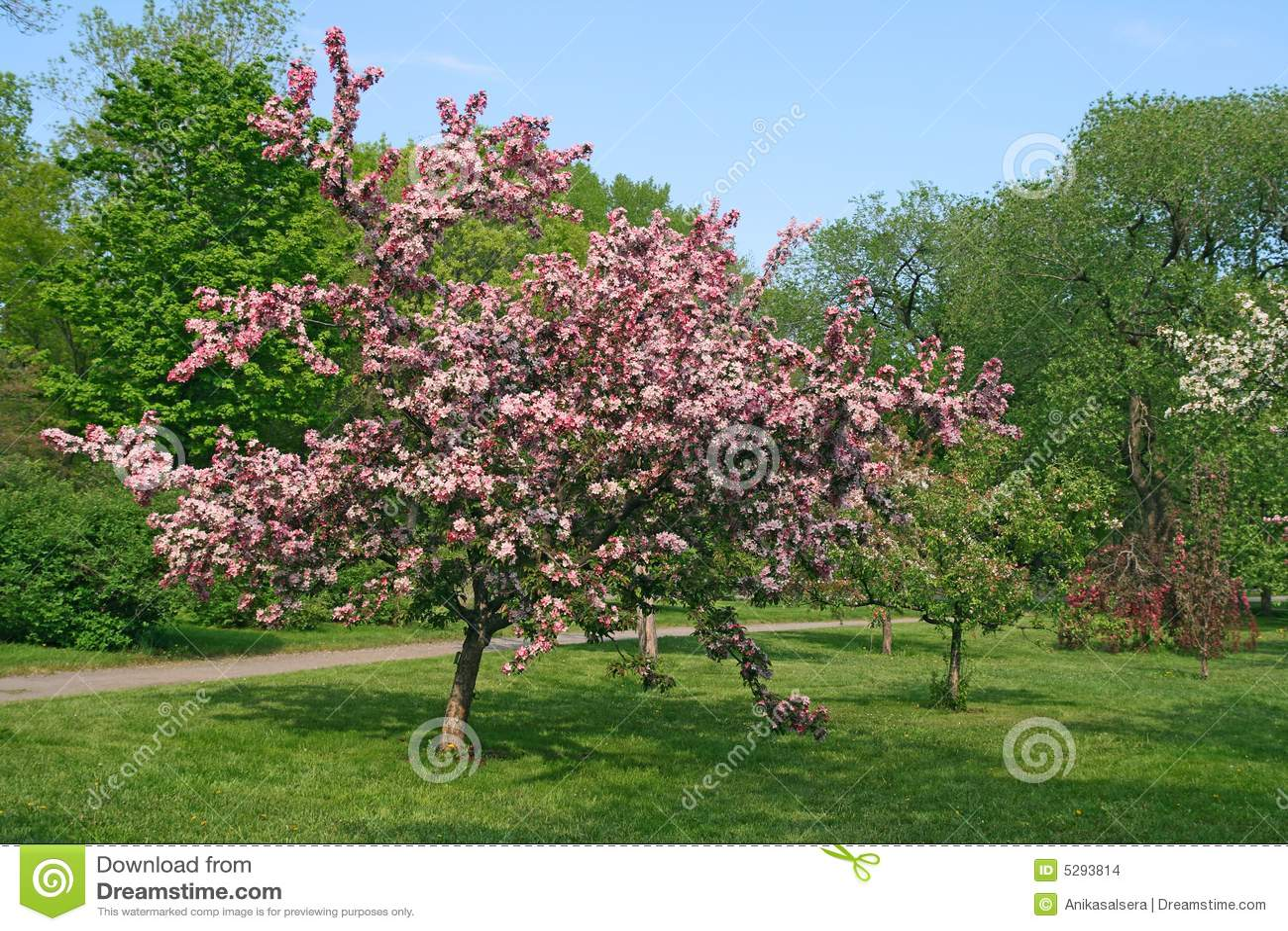 sch ner bl hender rosafarbener baum stockbilder bild 5293814. Black Bedroom Furniture Sets. Home Design Ideas