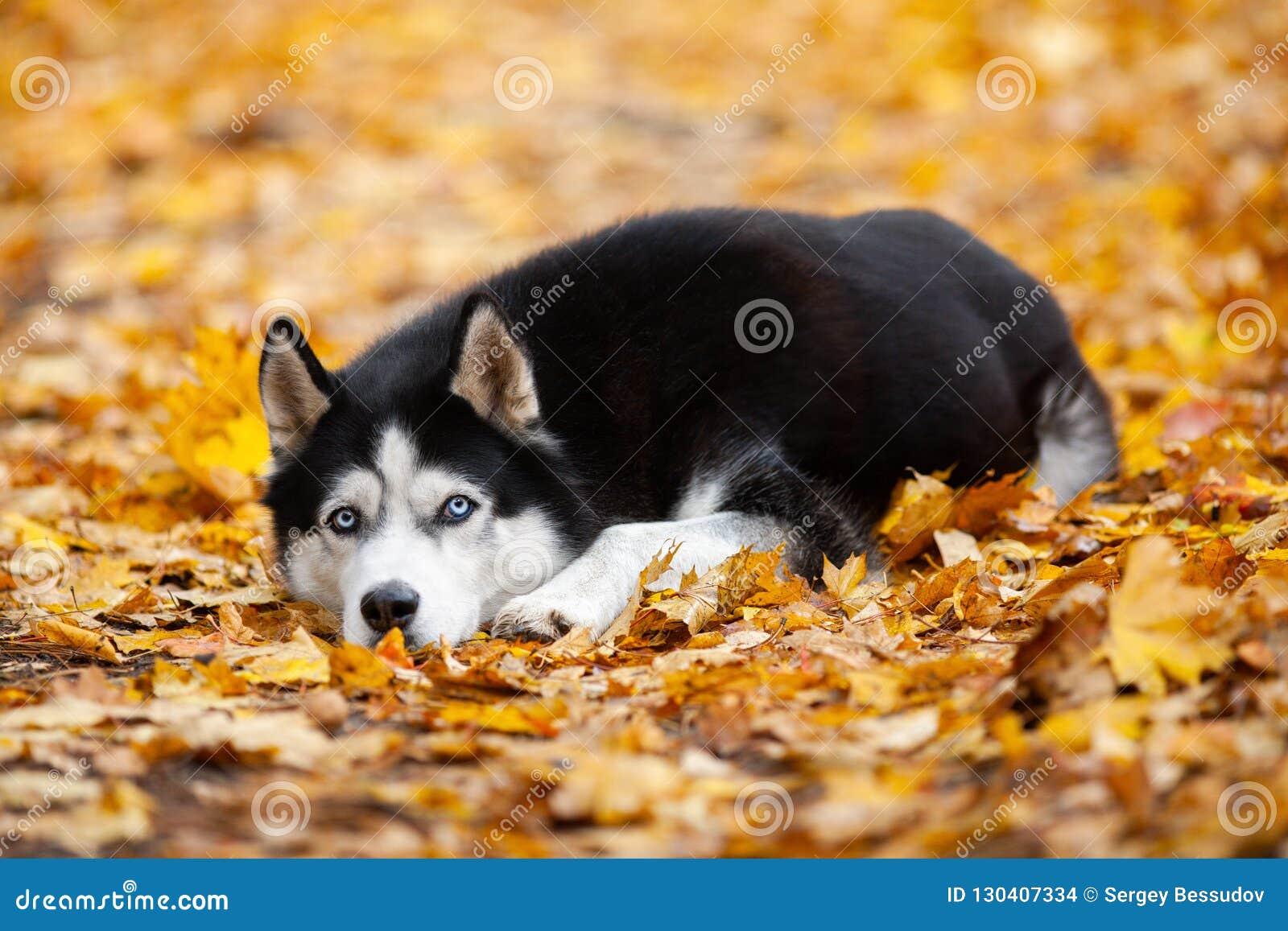 Schöner blauäugiger Schwarzweiss-sibirischer Husky liegt im gelben Herbstlaub Netter Herbsthund
