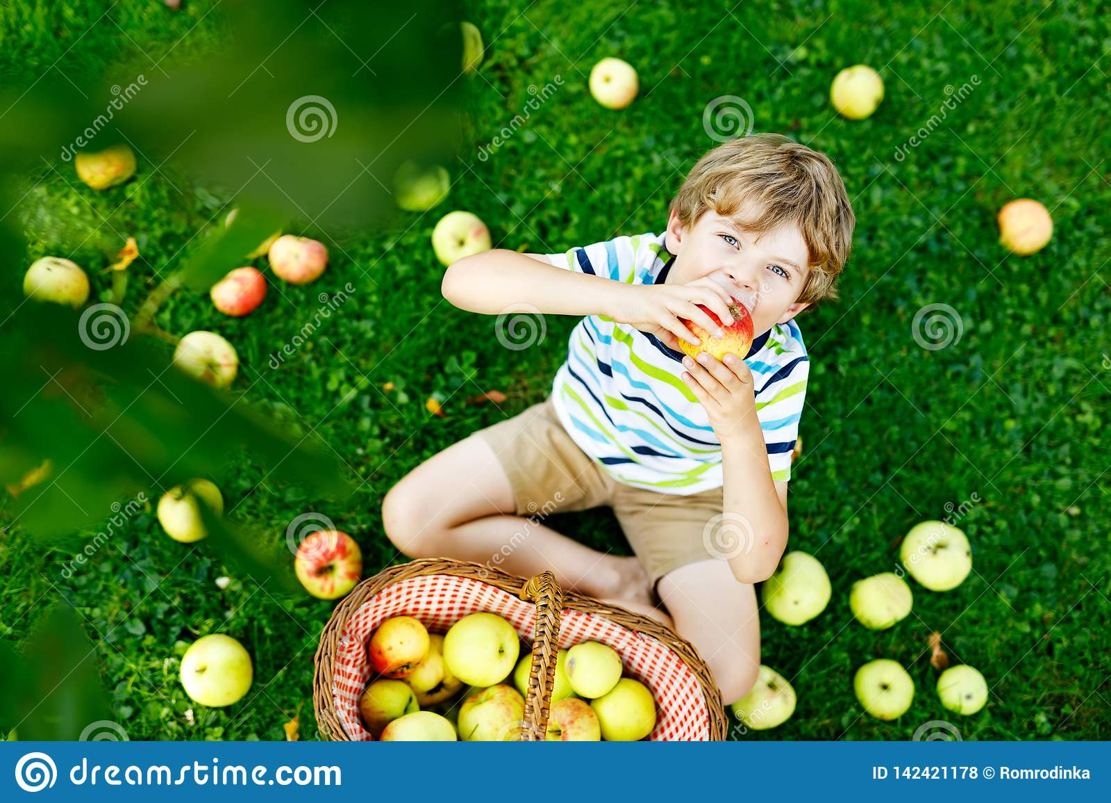 Schöner blonder glücklicher Kinderjunge, der draußen rote Äpfel auf Biohof, Herbst auswählt und isst Lustige kleine Vorschule
