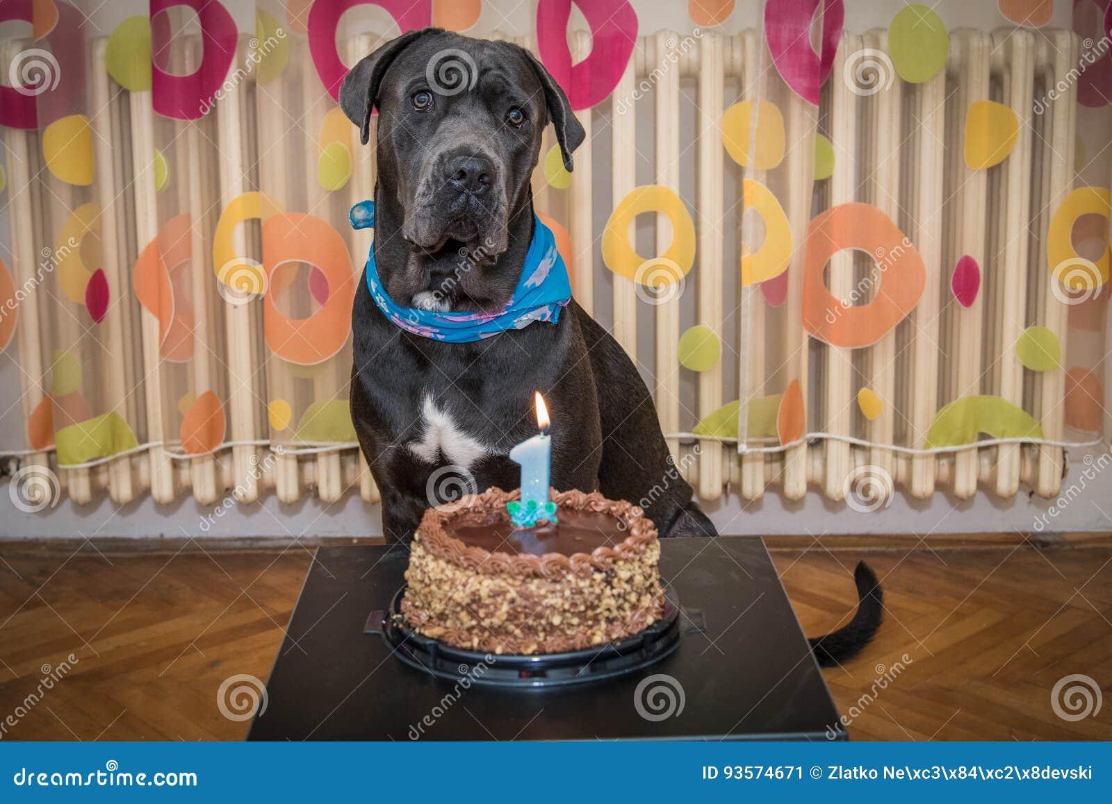 Schoner Dunkelgrauer Hund Feiert Seinen Ersten Geburtstag Stockbild