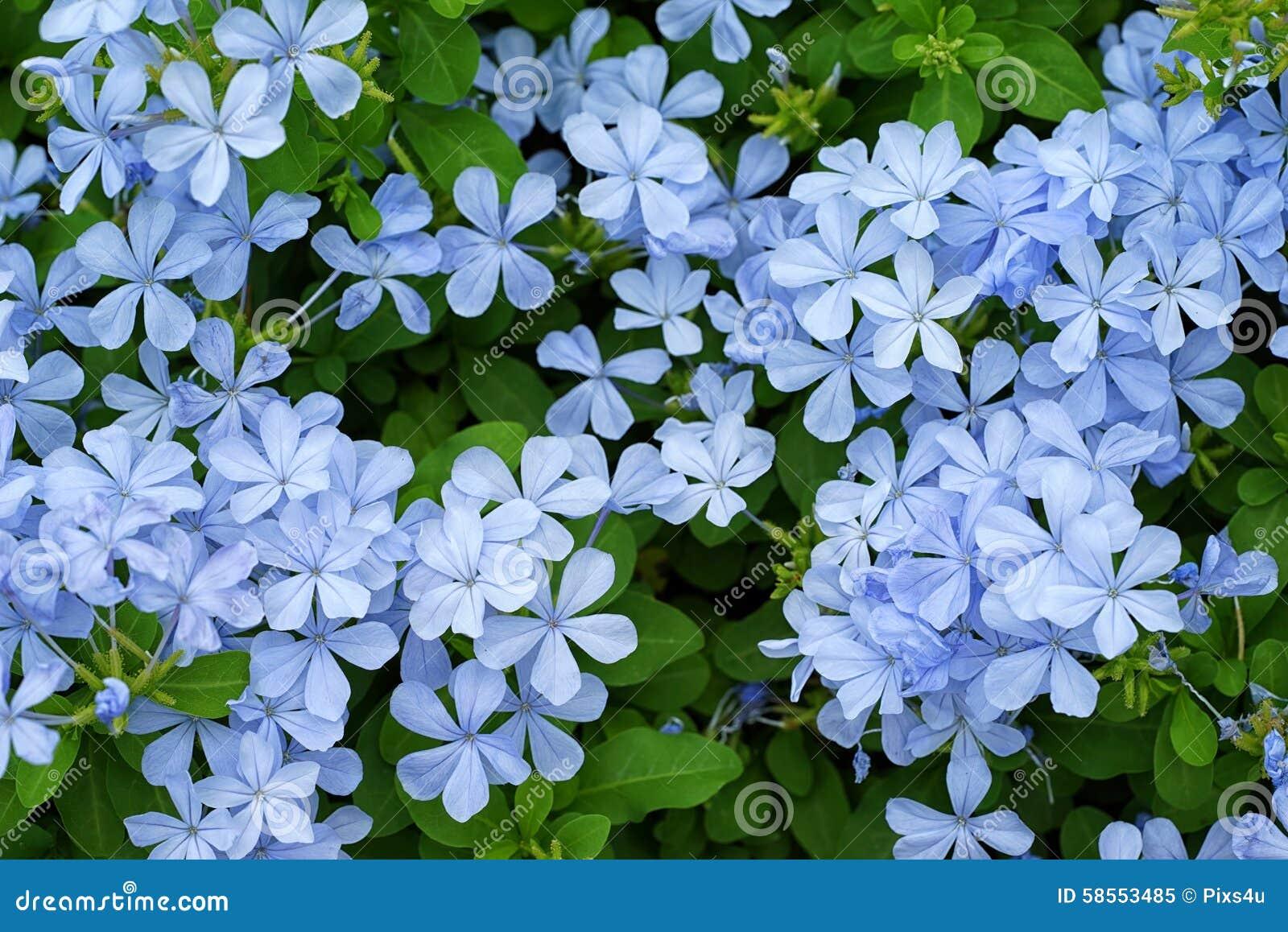 Schöner Empfindlicher Blauer Jasmin Im Garten Stockbild Bild Von