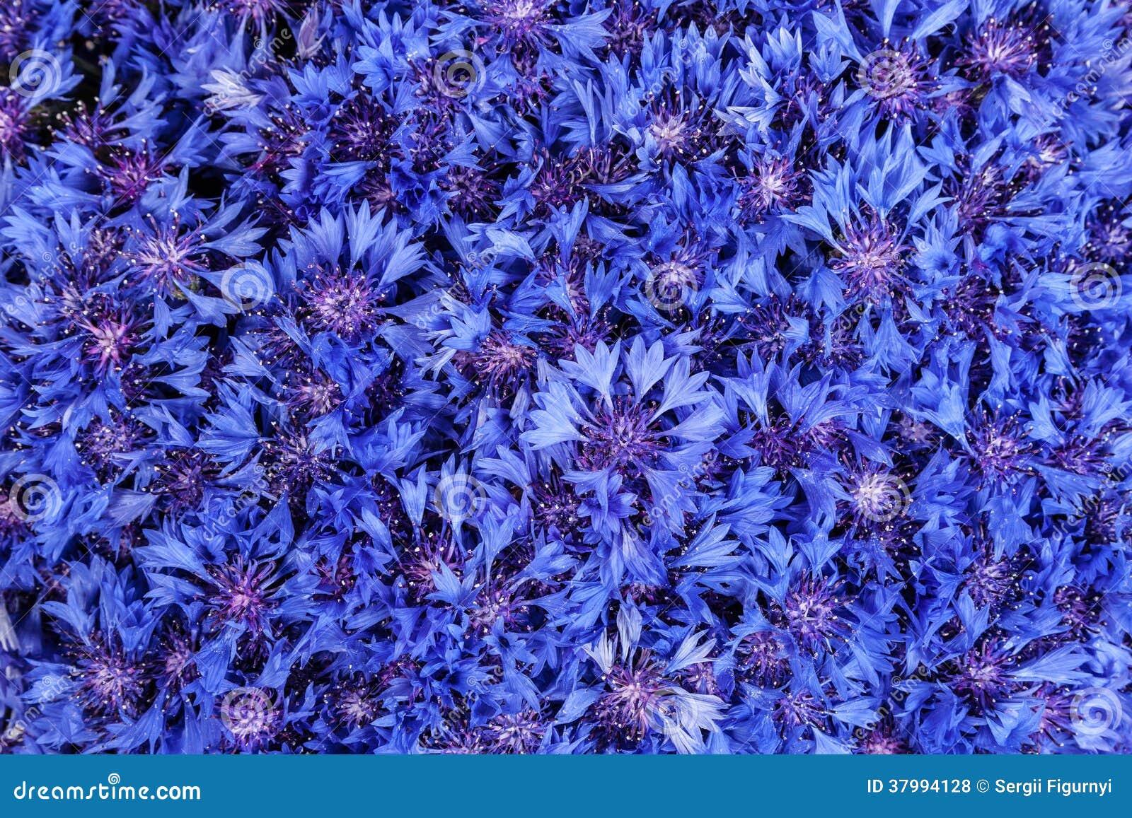 sch ner fr hling bl ht blaue kornblume auf hintergrund blaues flo lizenzfreie stockfotos bild. Black Bedroom Furniture Sets. Home Design Ideas