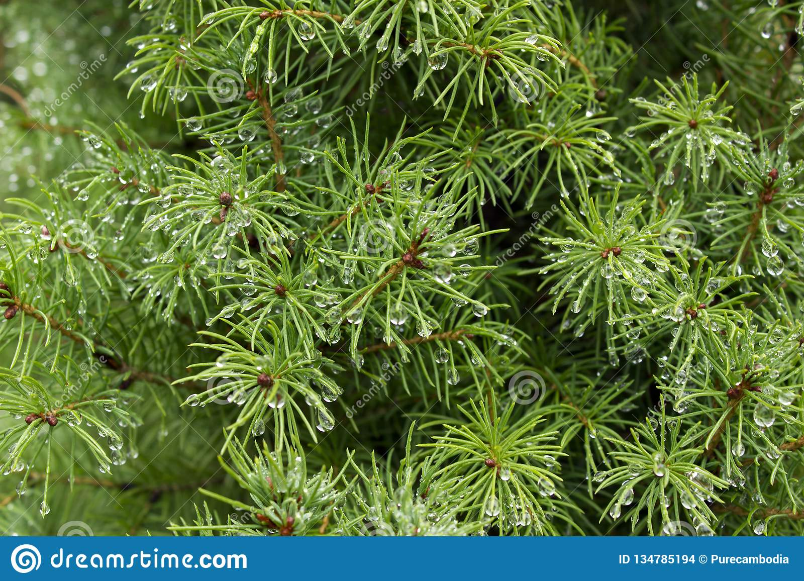 Schöner grüner Fichtenzweig mit Regentropfenhintergrund