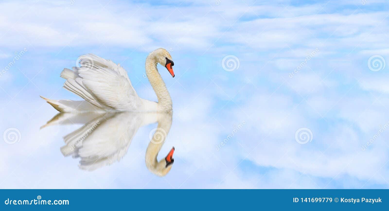 Schöner Höckerschwan auf einem ruhigen See