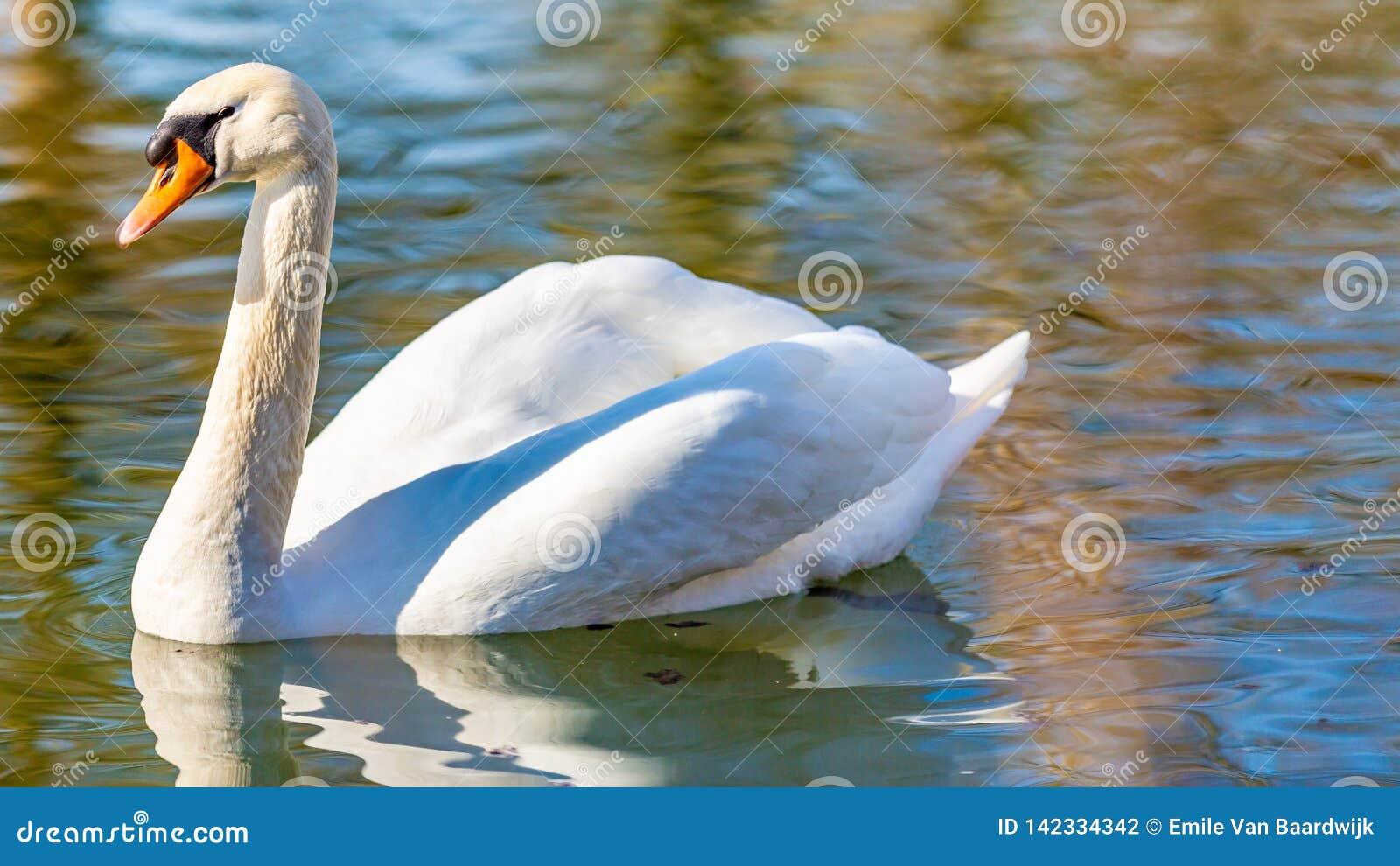 Schöner Höckerschwan, der ruhig in einem Teich im Park schwimmt