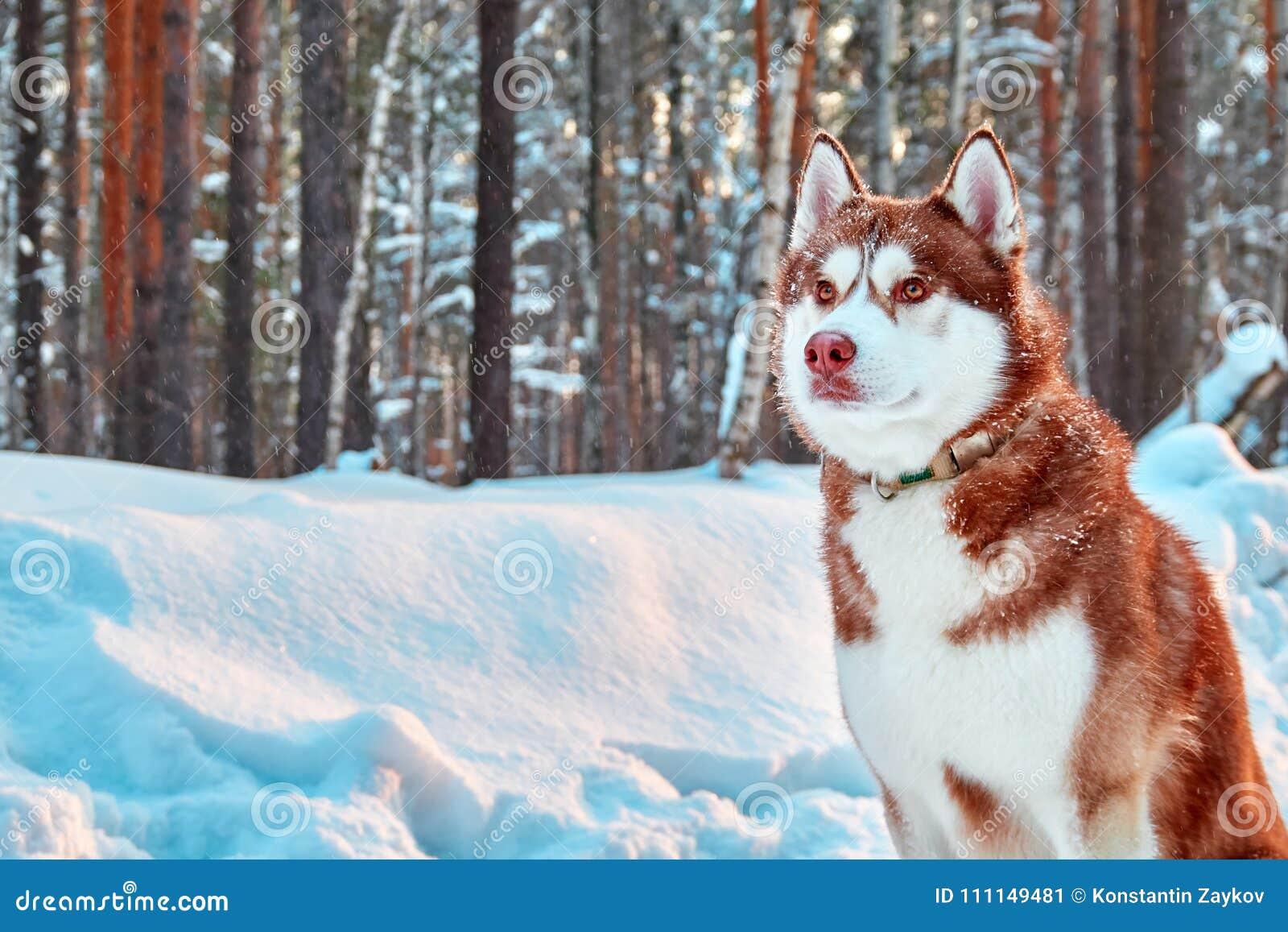 Schöner heiserer Hund des Porträts auf Weg im Winterwaldroten sibirischen Husky sitzt auf Hintergrund des schneebedeckten Waldkop