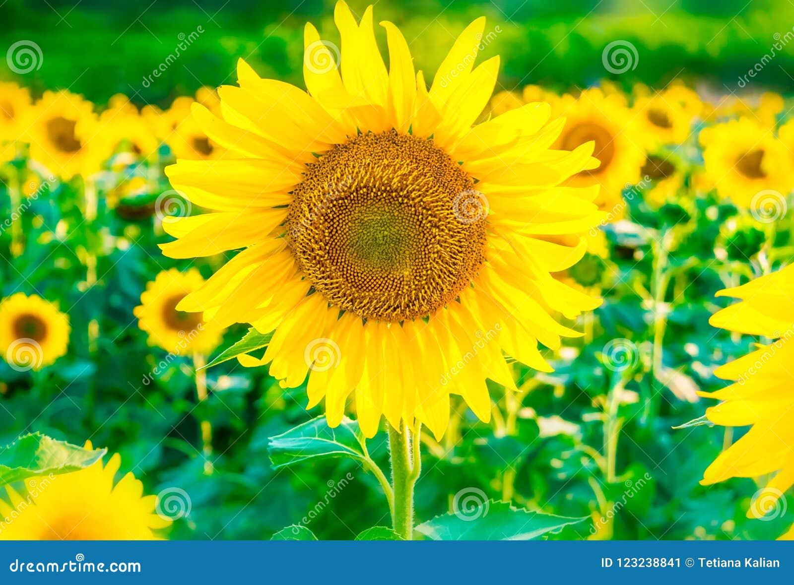 Schöner heller Sonnenblumenfeldhintergrund mit einer großen blühenden gelben Blume im Fokus