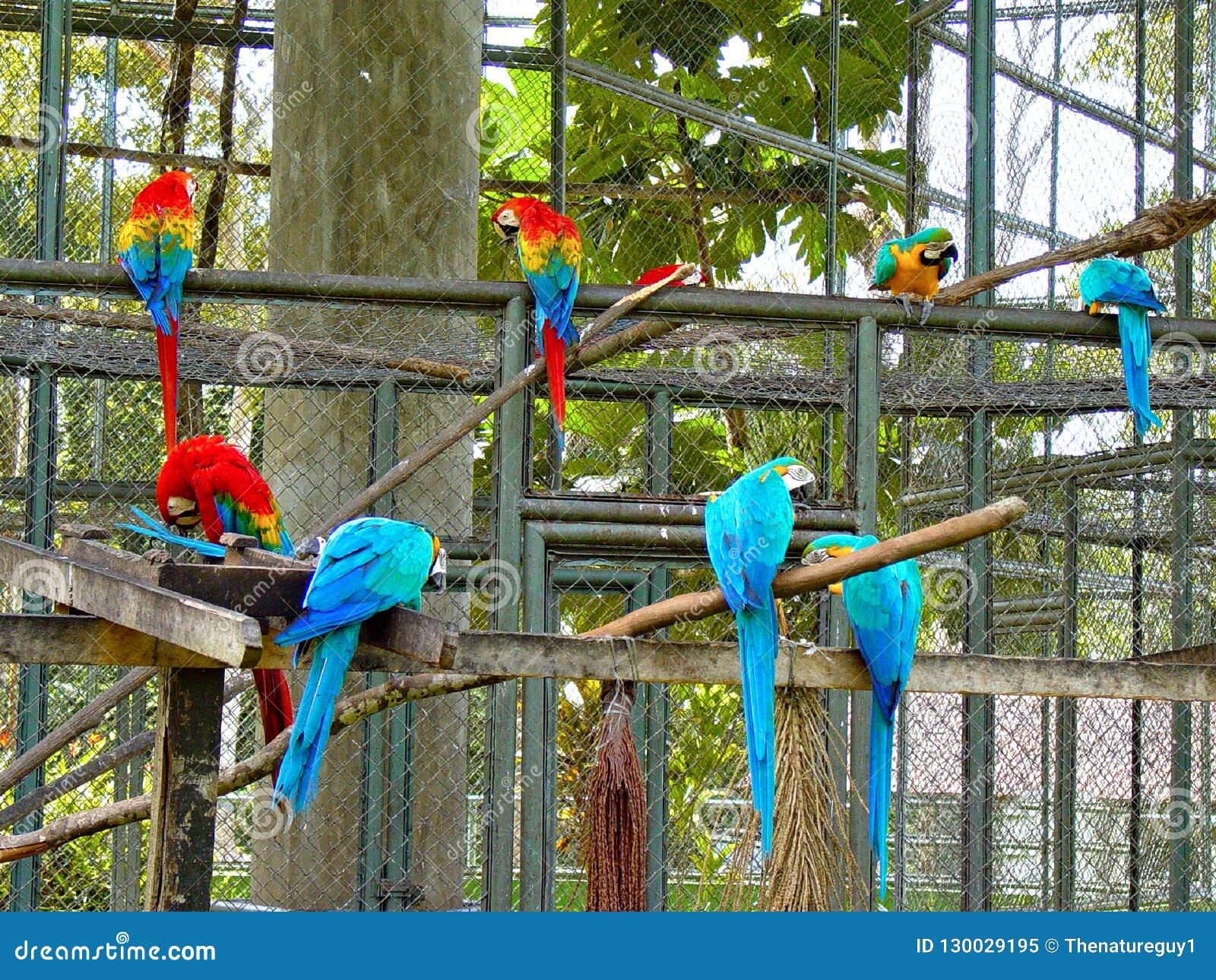 Schöner Hintergrund des Scharlachrots und der blauen Goldkeilschwanzsittiche im Zoo
