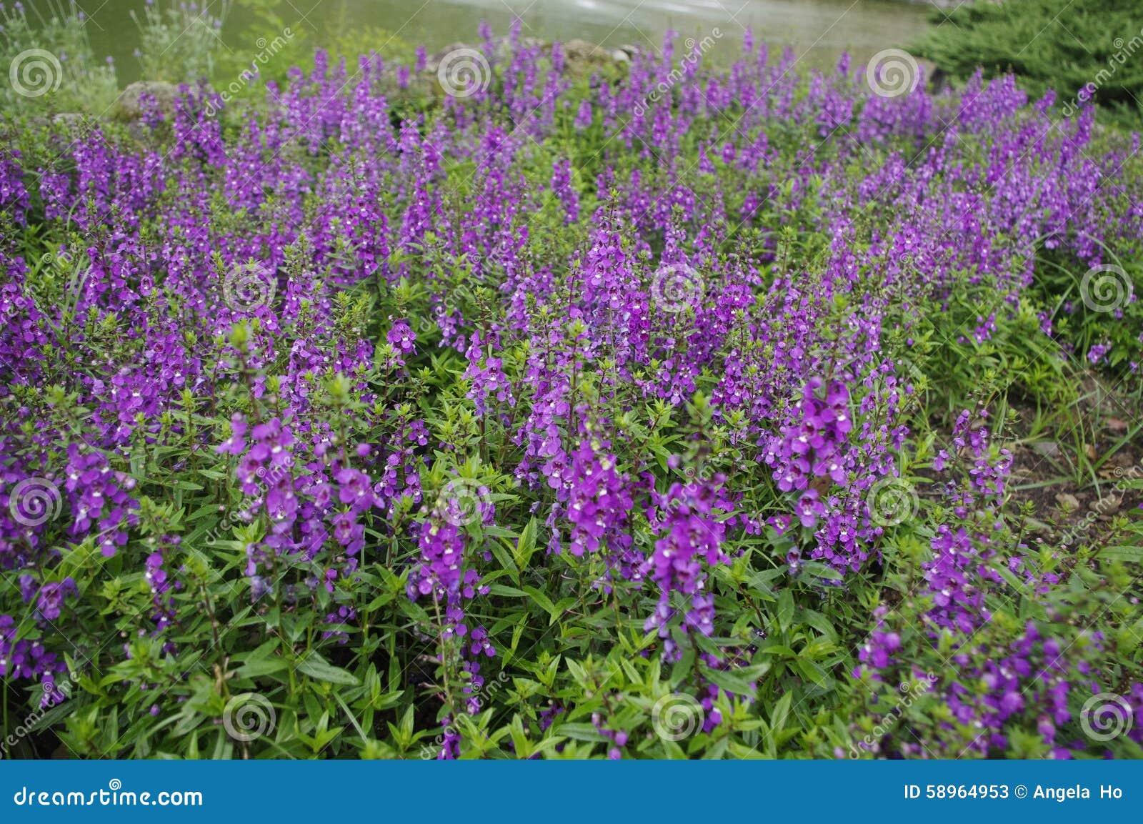Schöner Lavendel in Gipfel-Erholungsort-Taichungs-Garten