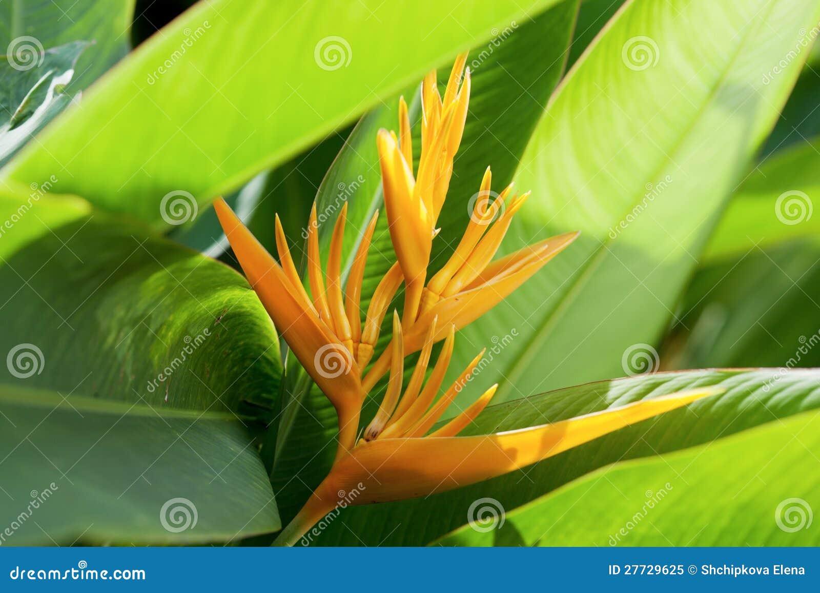 Schöner Paradiesvogel Blume