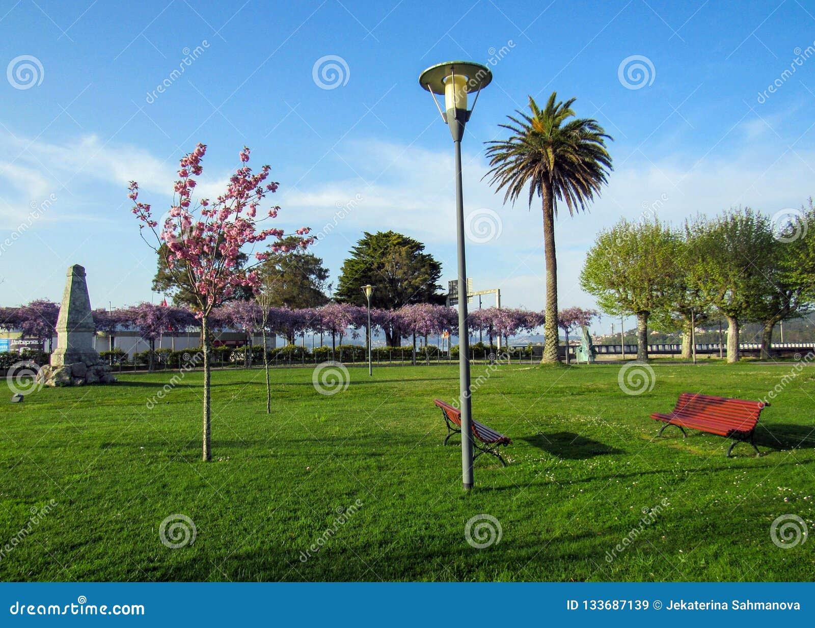 Schöner Park im Frühjahr mit roten Bänke, rosa blühendem Kirschbaum und Palma-Baum am sonnigen Tag mit blauem Himmel