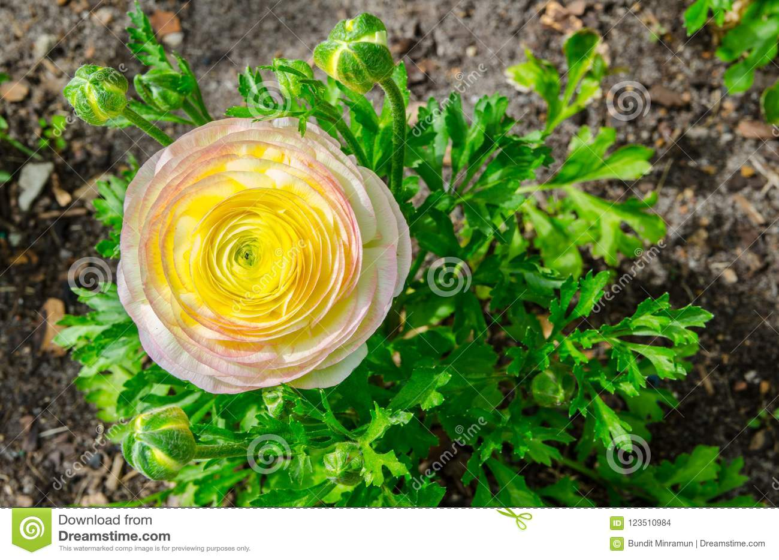 Schöner reizender gelber und rosa Ranunculus oder Butterblume blüht am hundertjährigen Park, Sydney, Australien