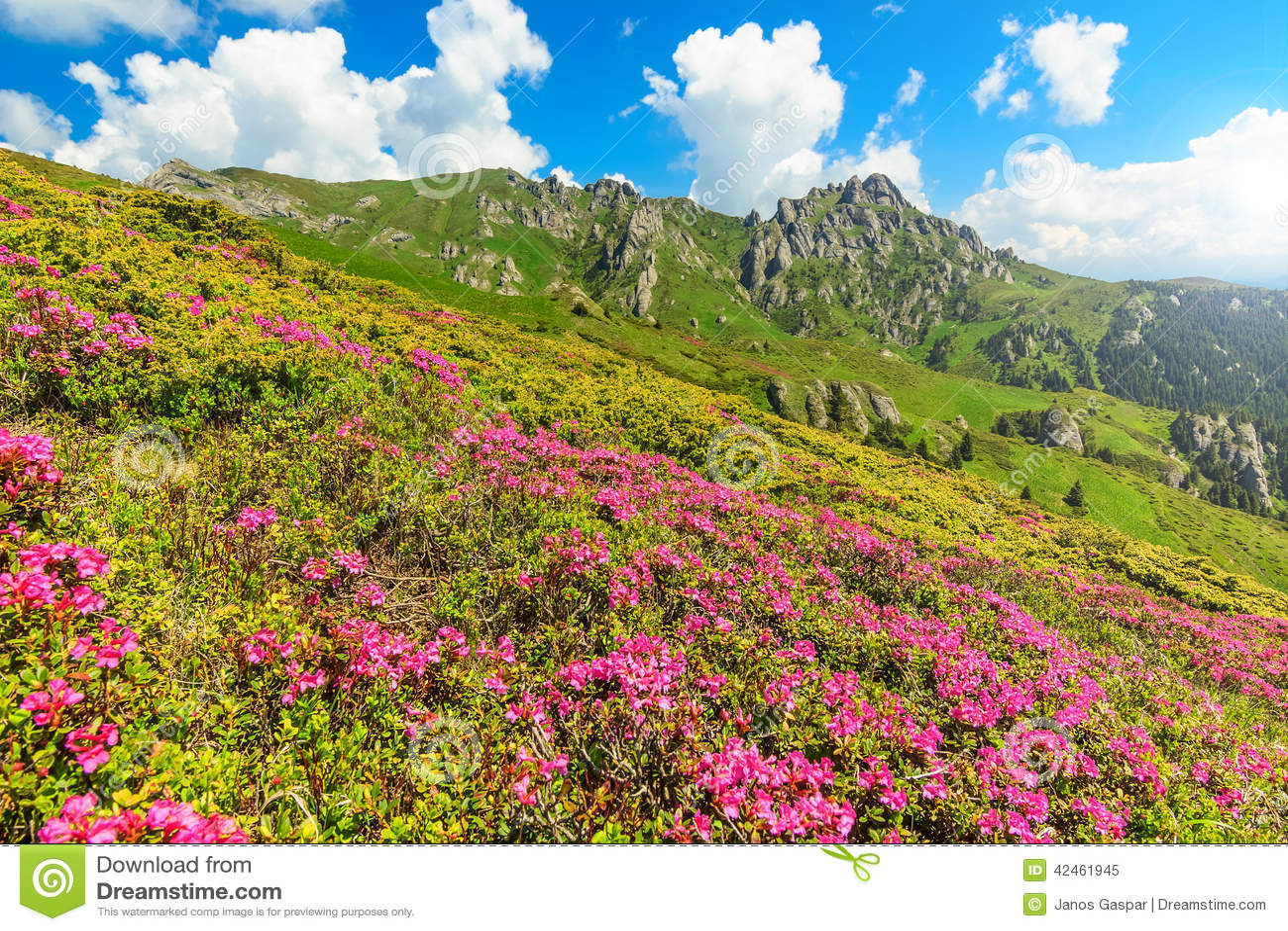 Schöner rosa Rhododendron blüht in den Bergen, Ciucas, Karpaten, Rumänien