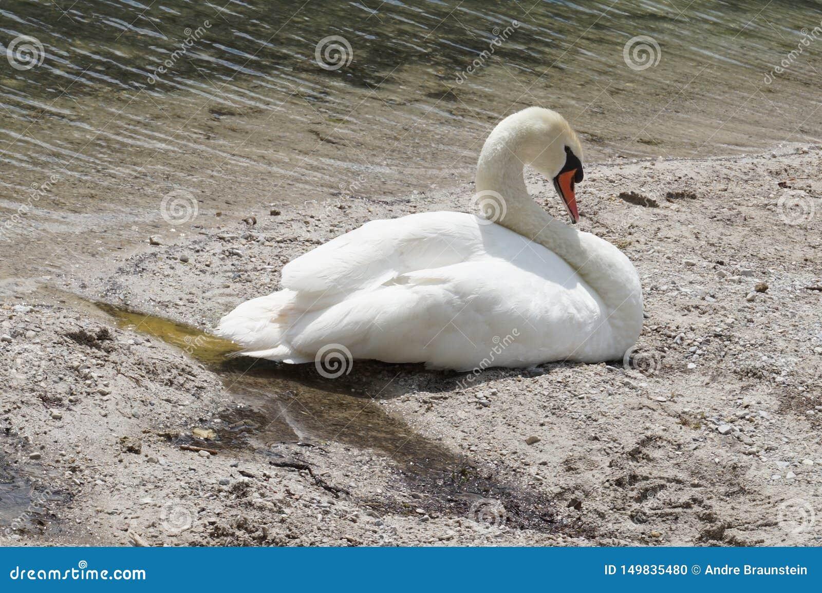 Schöner Schwan schläft auf dem Ufer von einem Teich
