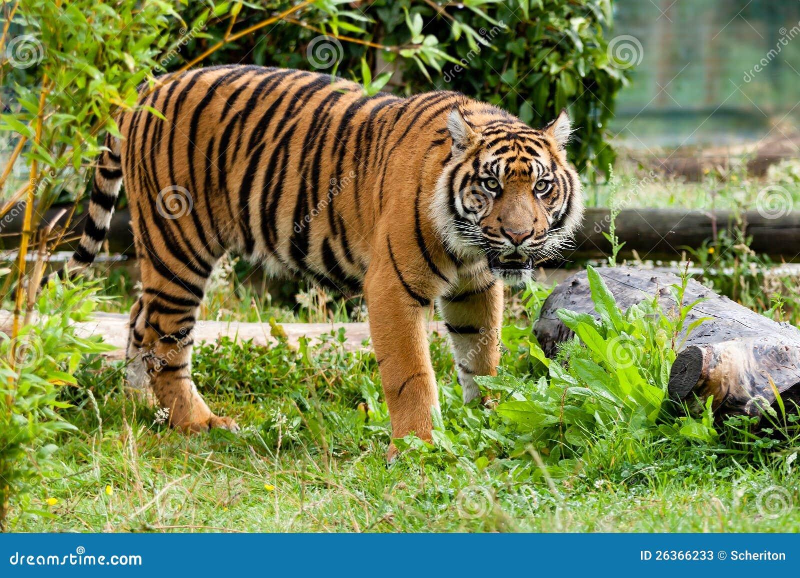 Schöner Sumatran Tiger, der im Grün knurrt