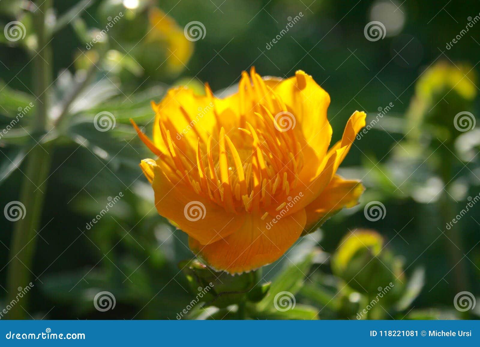 Schöner Trollius chinensis, goldene Königin, Kugelblume
