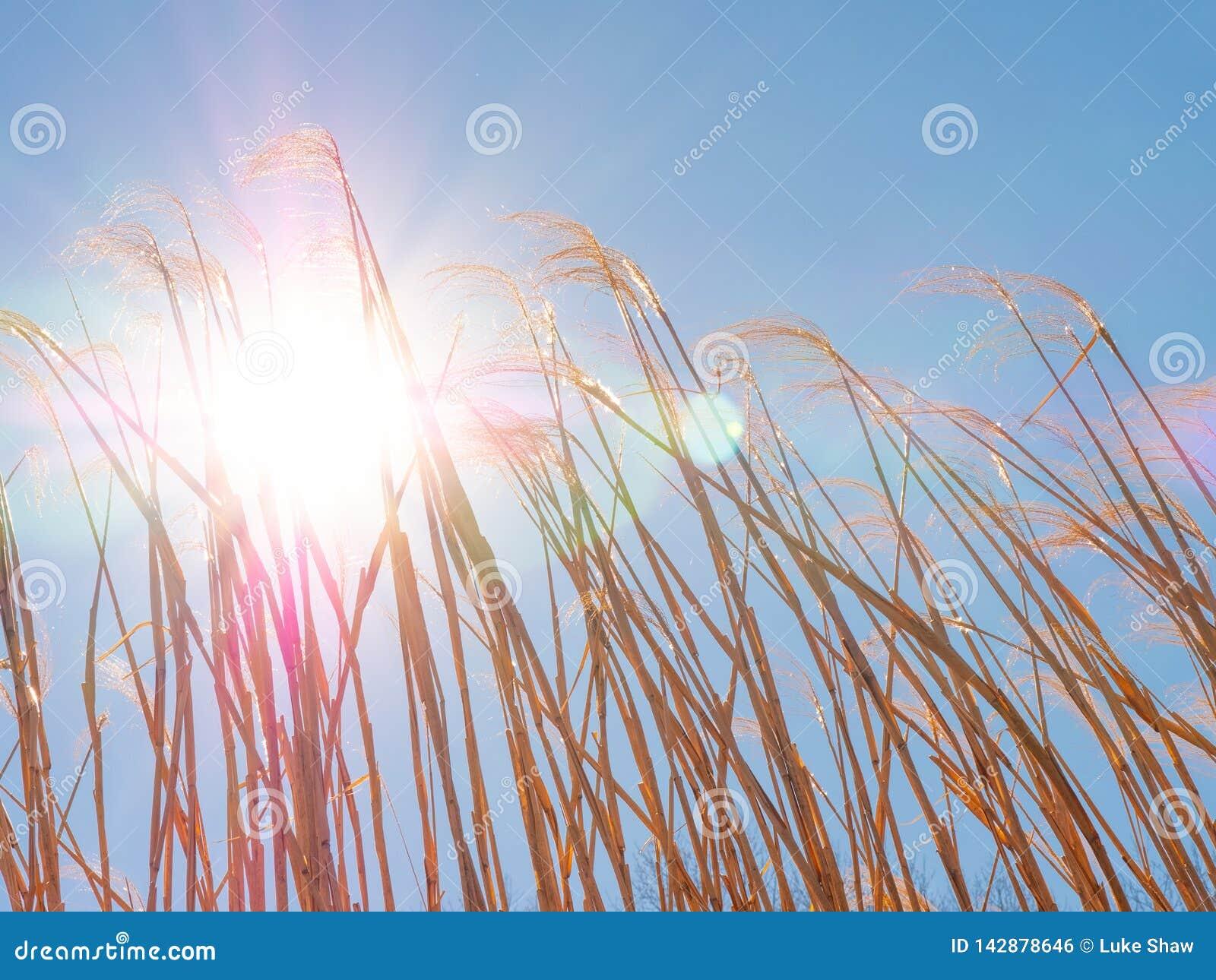 Schöner Weizen hintergrundbeleuchtet bis zum einem majestätischen Sun