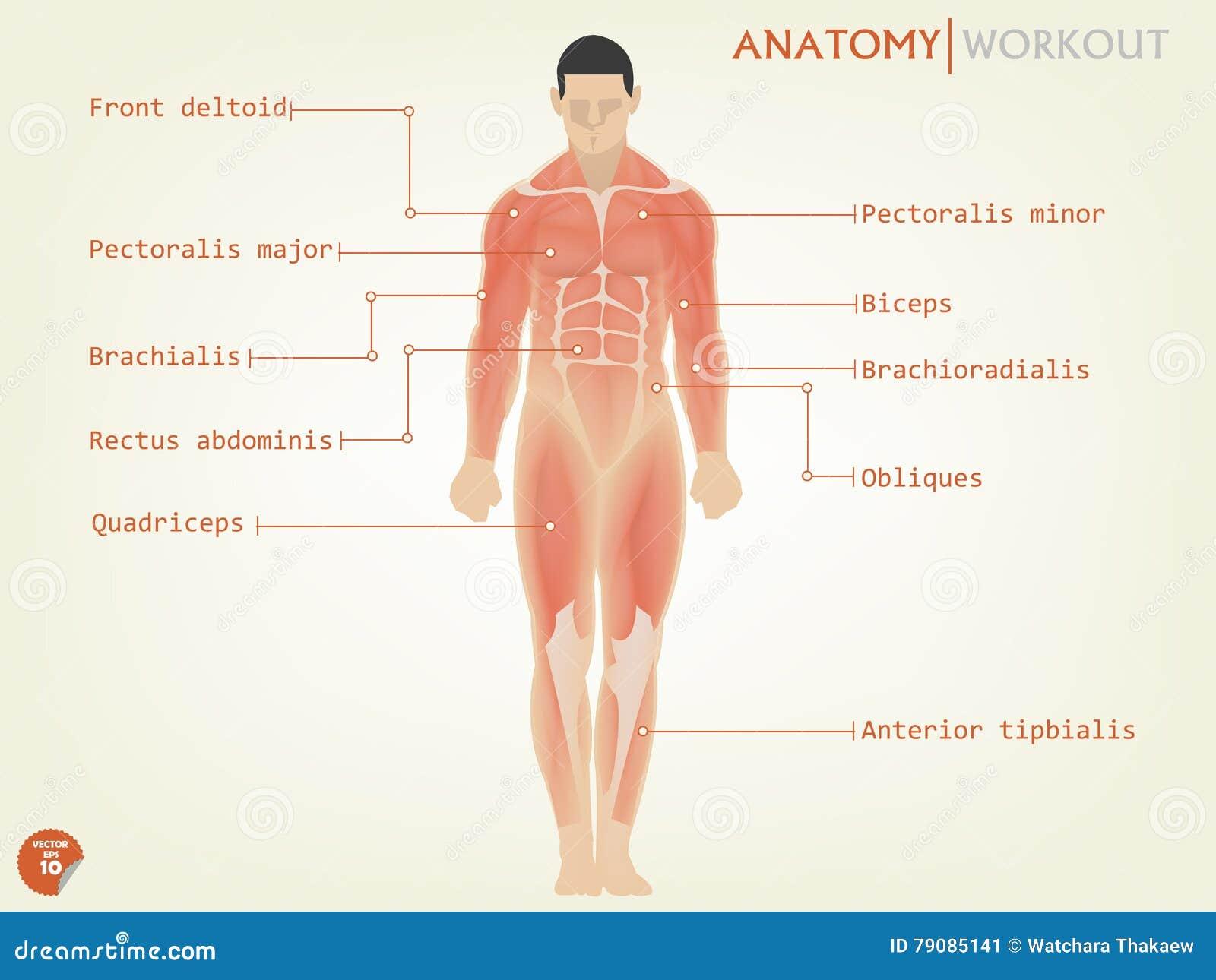 Schönes Design Des Vorderseite Der Menschlichen Anatomie Mit ...