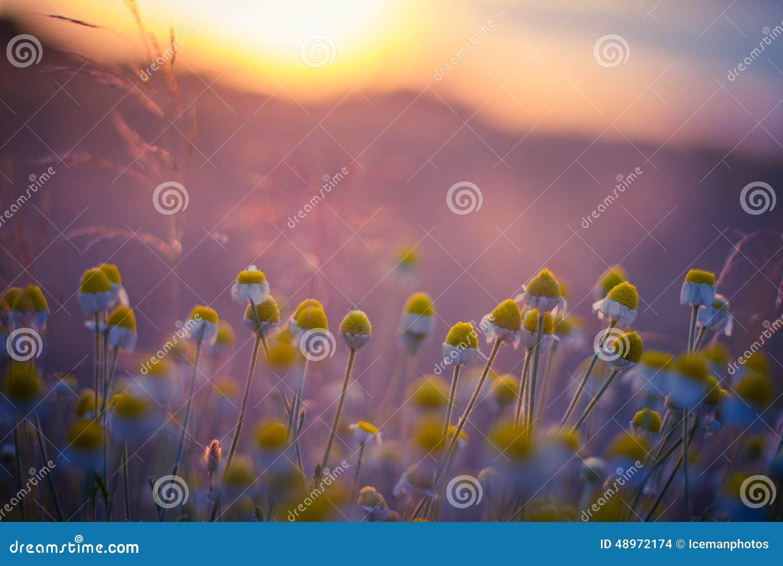 Schönes Feld mit Kamille bei dem Sonnenuntergang