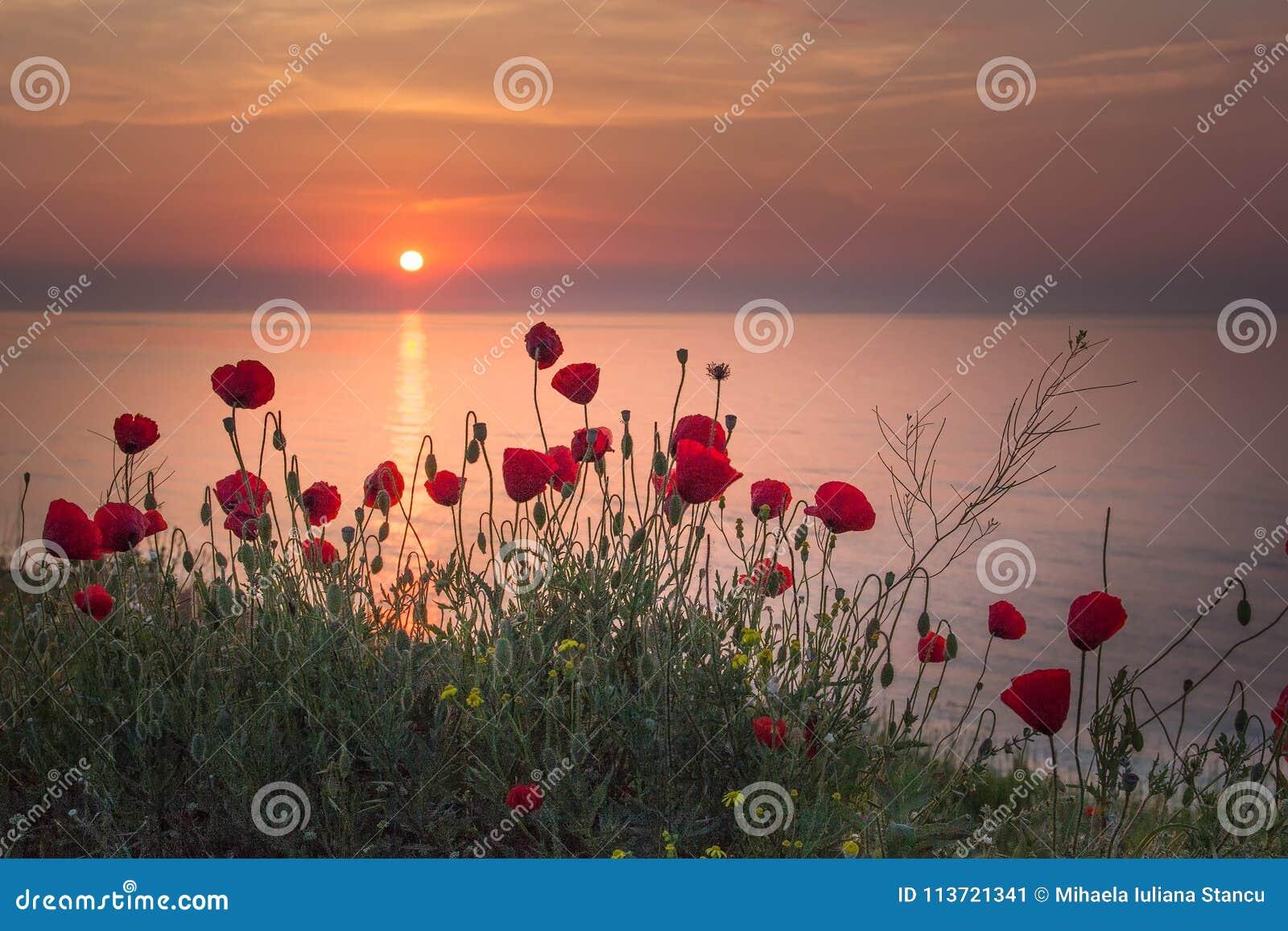 Schönes Feld von roten Mohnblumen im Sonnenaufgang nahe dem Meer
