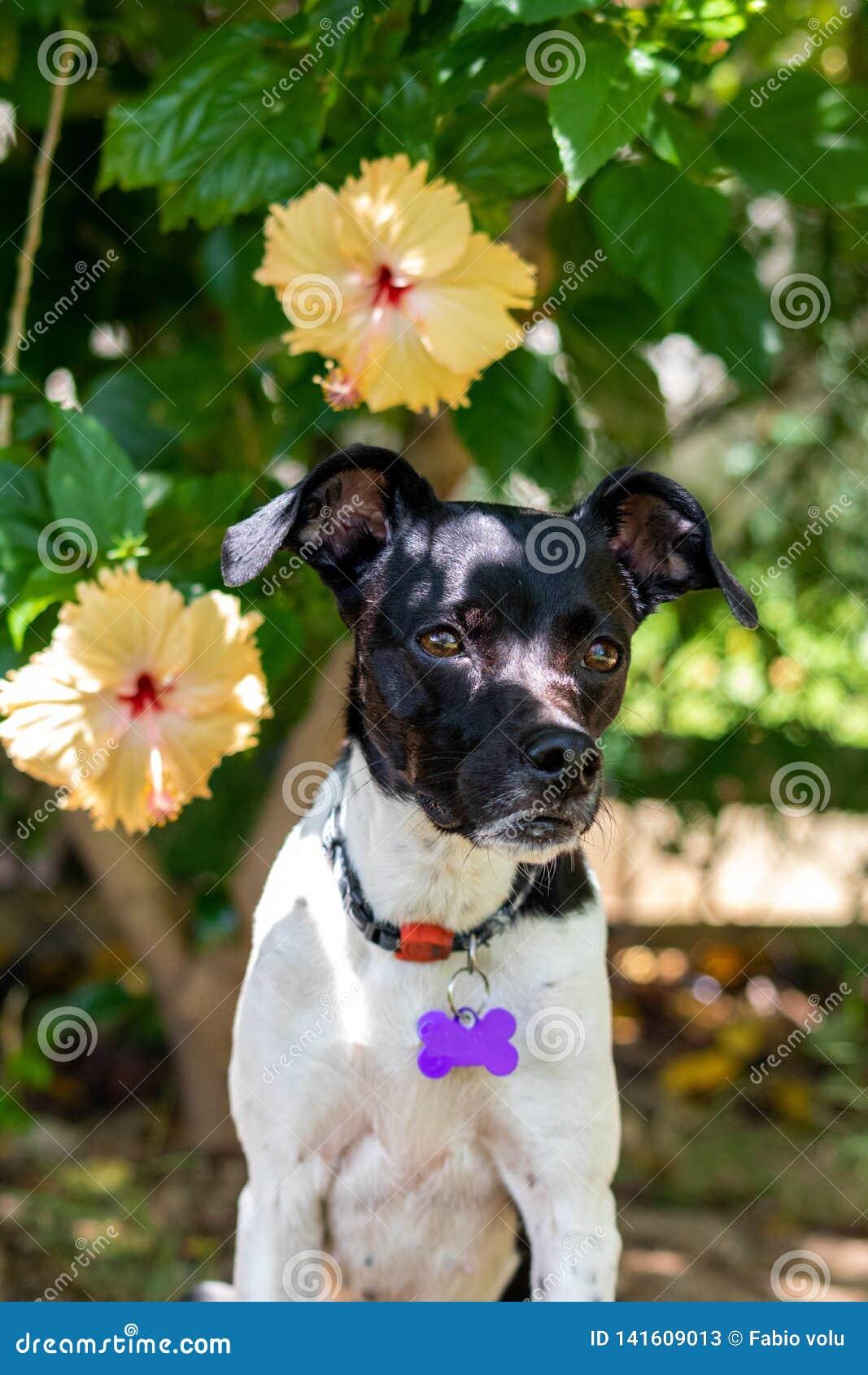 Schönes Frühlingsporträt entzückenden schwarzen Brasilianer-Terrier-Hundes im blühenden Park, rosa Blume des Hibiscus auf backgro
