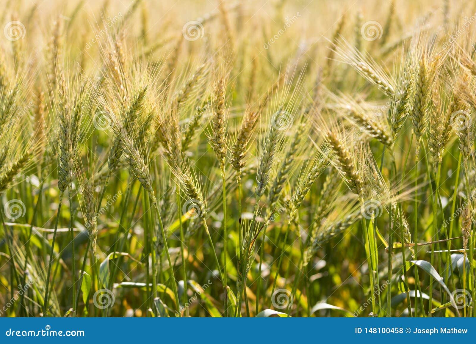 Schönes goldenes Weizenspitzen Weizenfeld Nepal