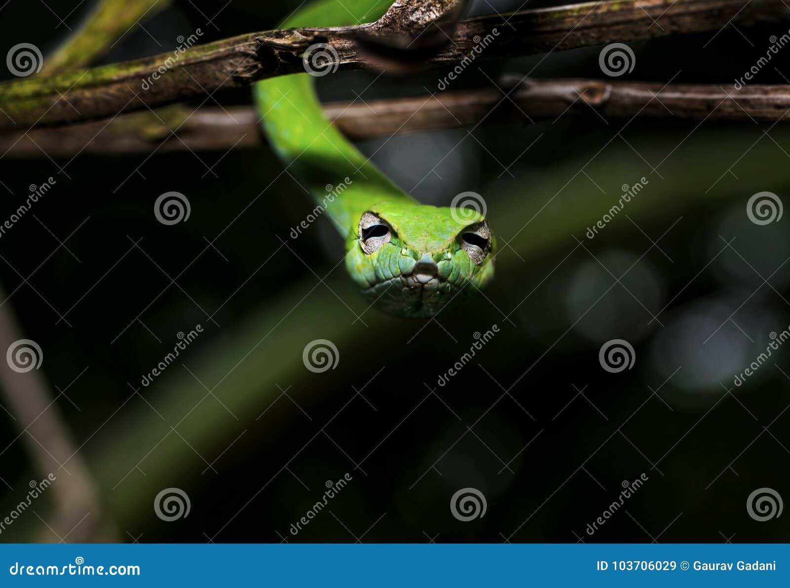 Schönes grünes Rebschlange Ahaetulla-nasuta, das von der Niederlassung betrachtet Kamera hängt