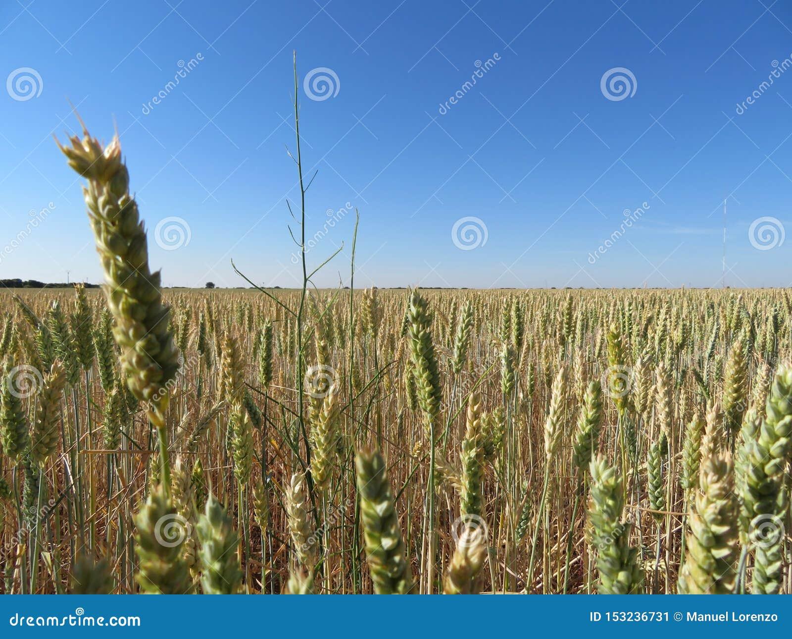 Schönes Kornfeld mit großen Spitzen der intensiven Farbe